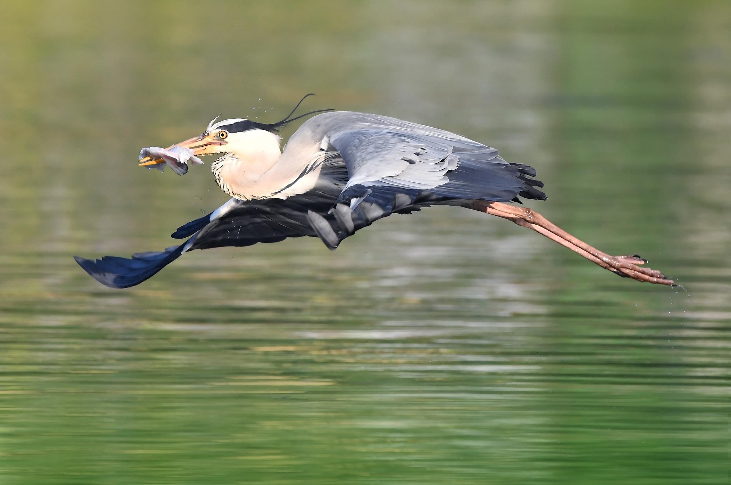 Herons in flight low...