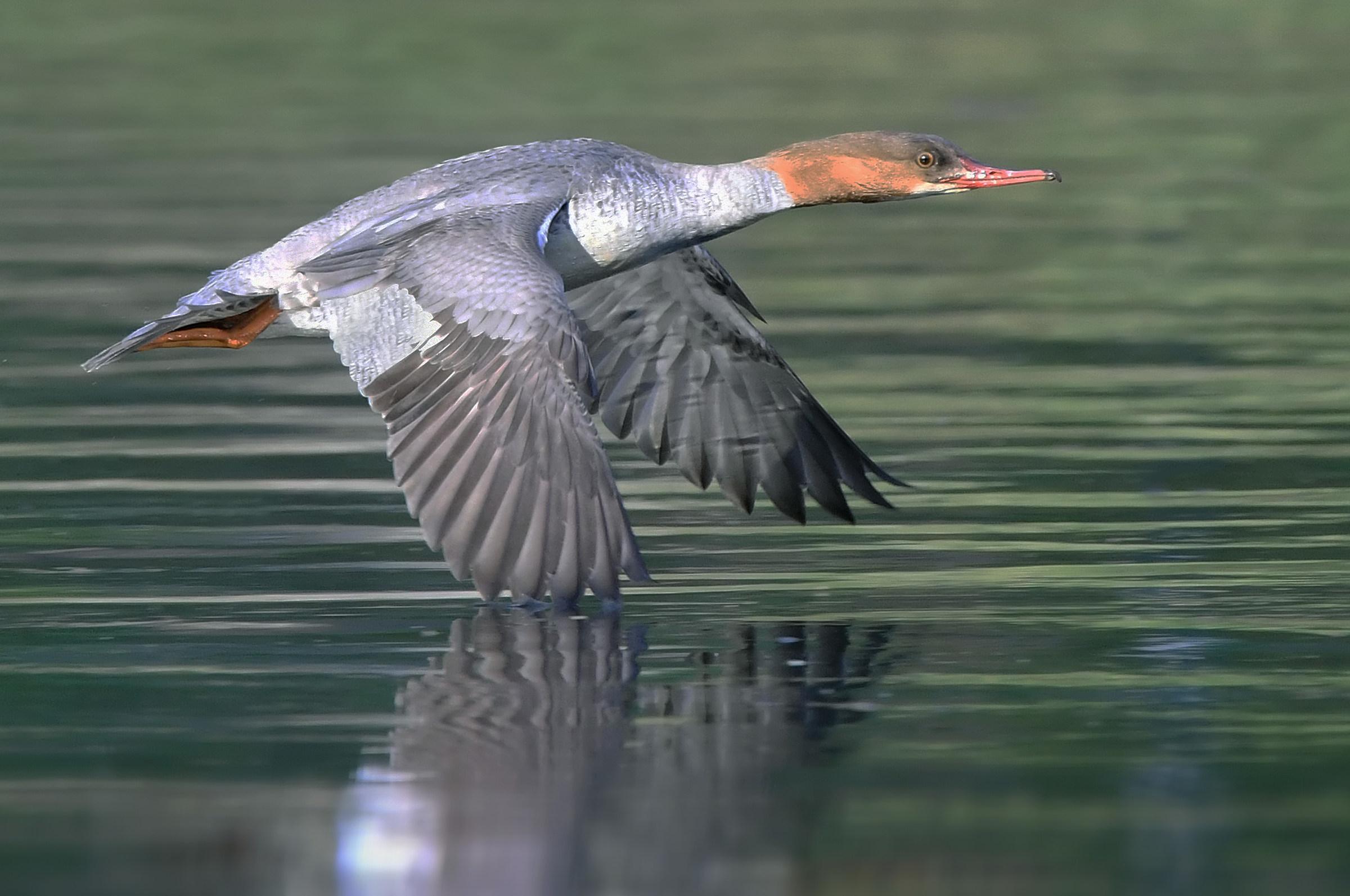 The fledging merganser...