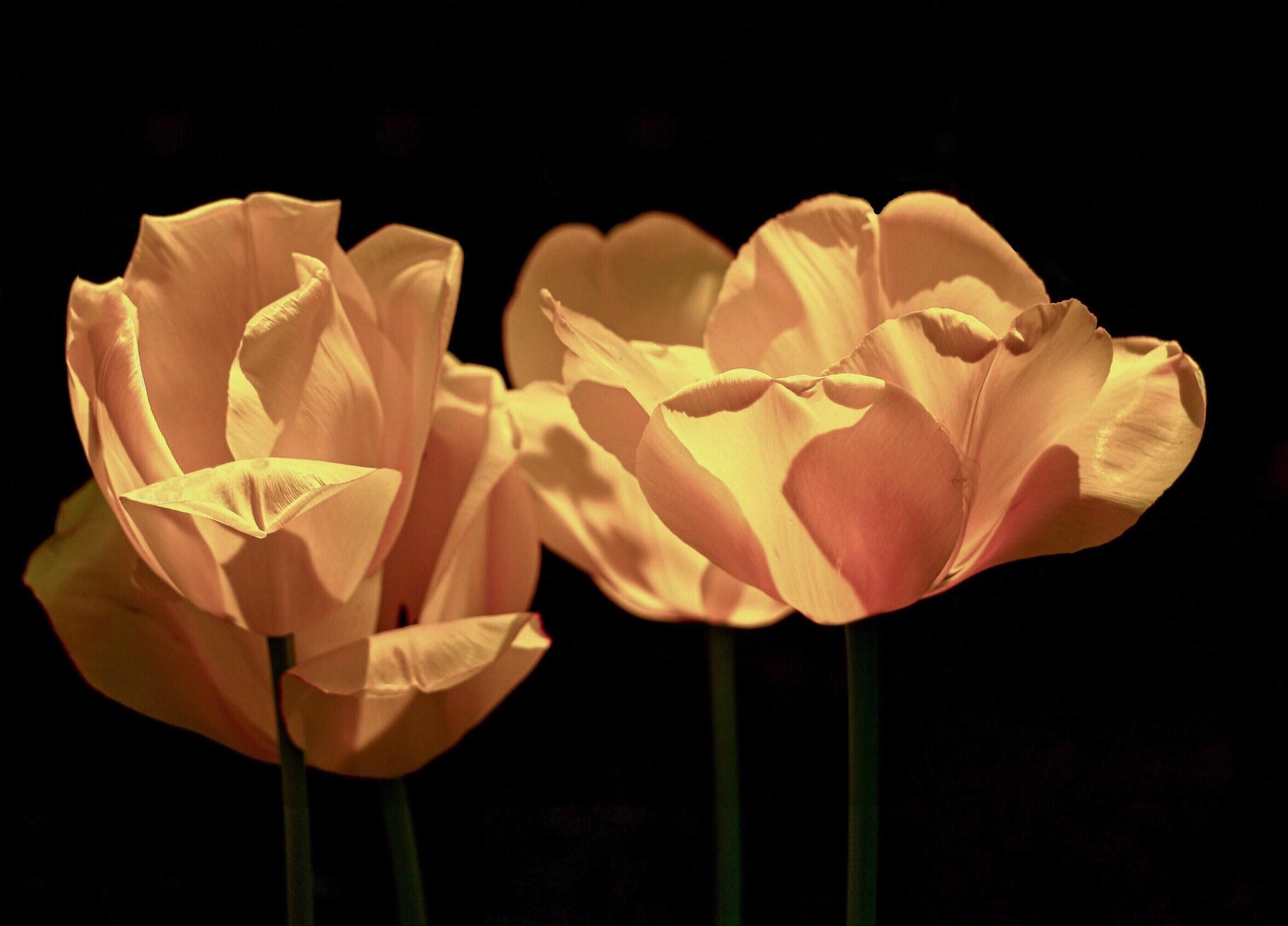 Tulips in light and dark. ...