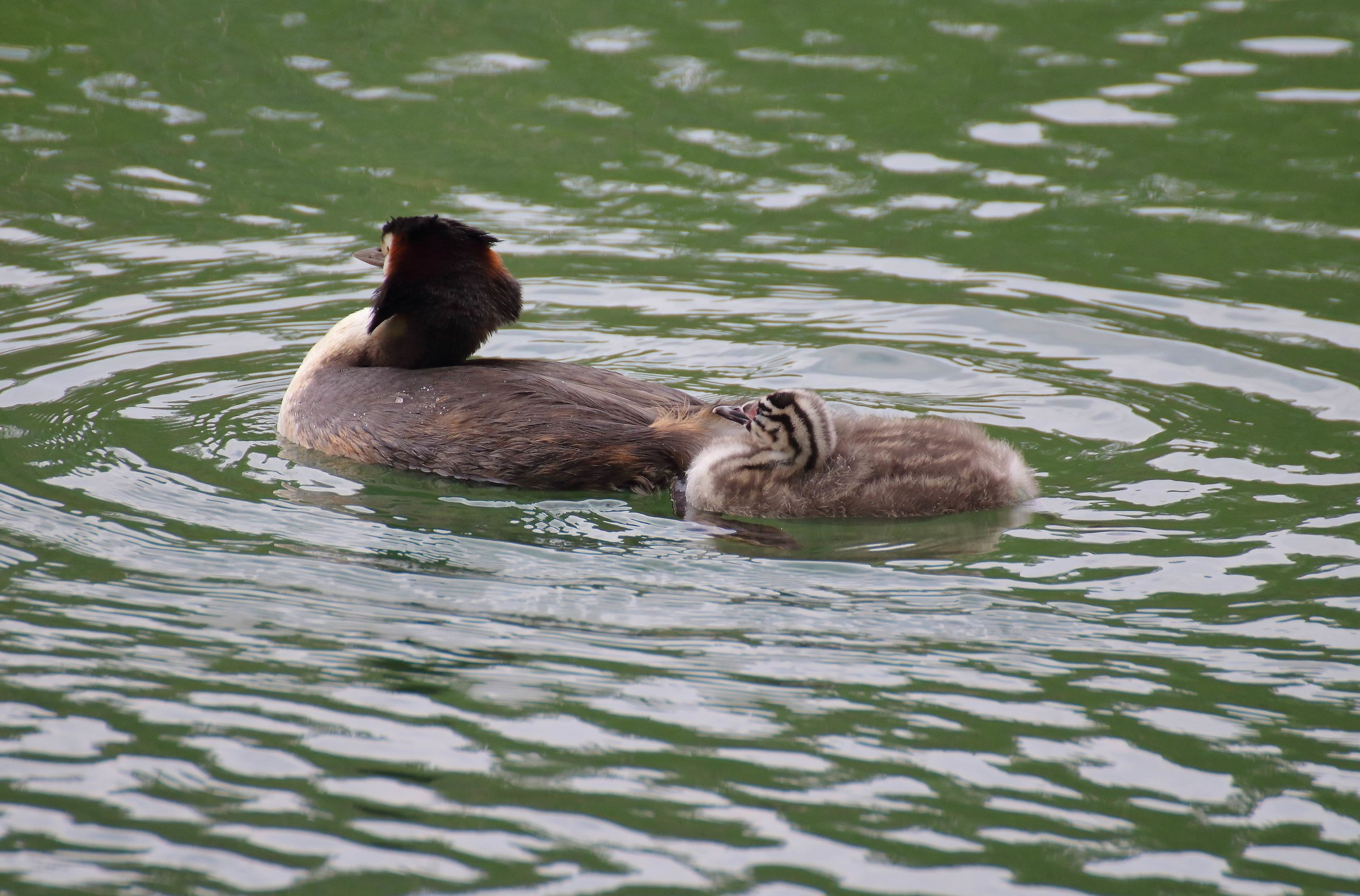 Learning pullo of Grebe ...