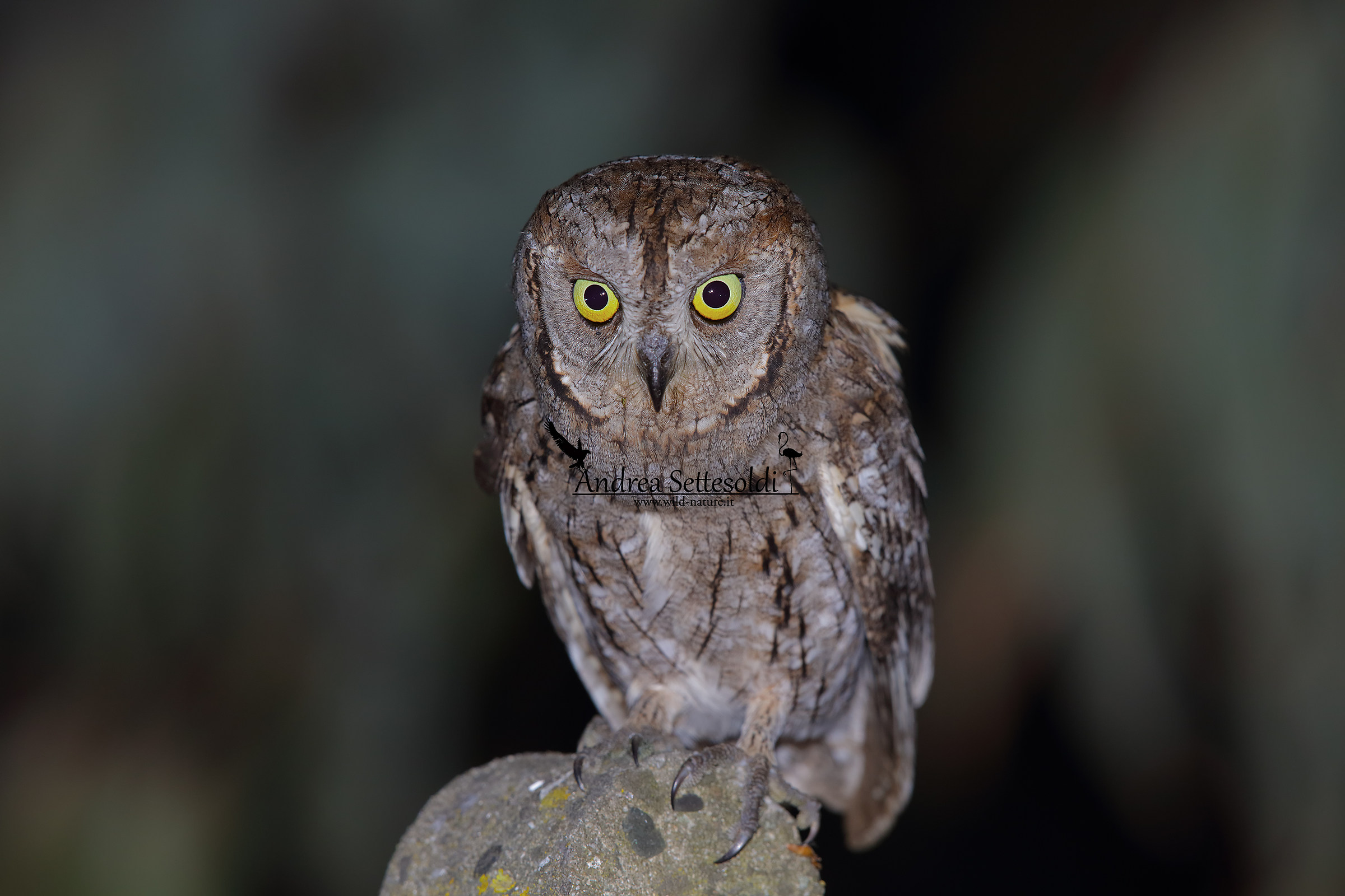 Scops owl that closer you can't!!!...