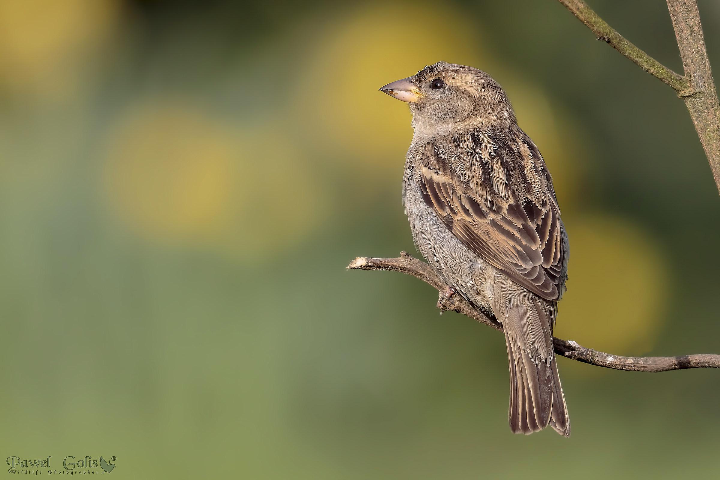 Sparrow...