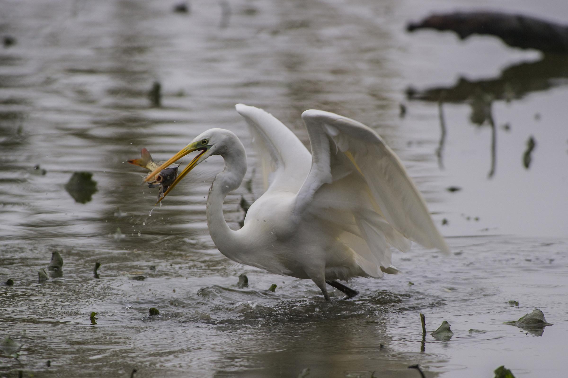 A large prey (1°)...