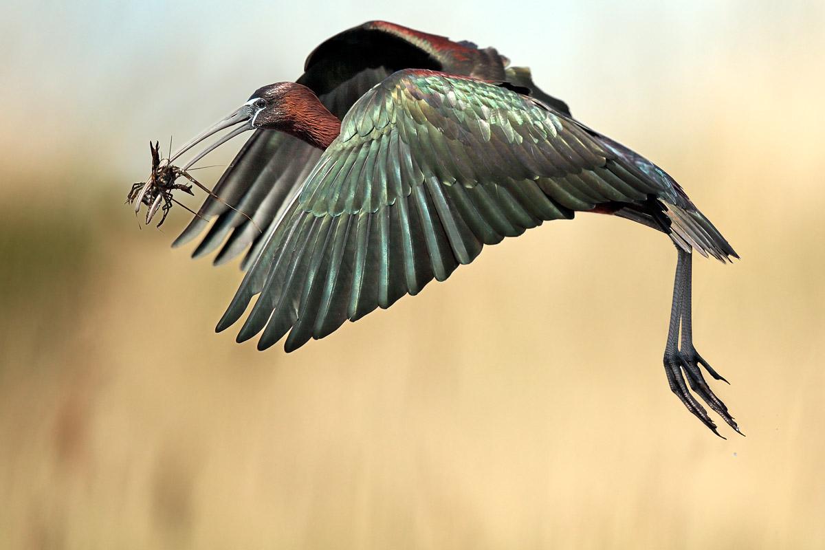 Glossy ibis...