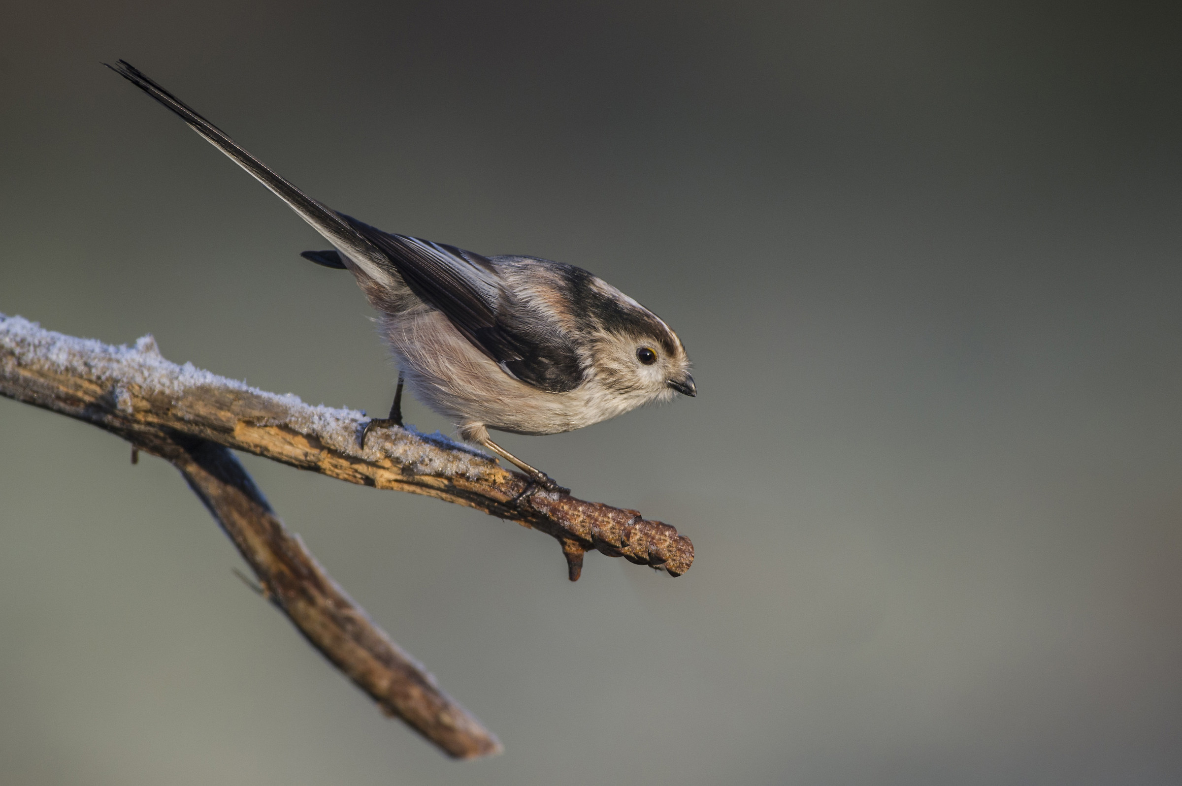 Long-tailed...