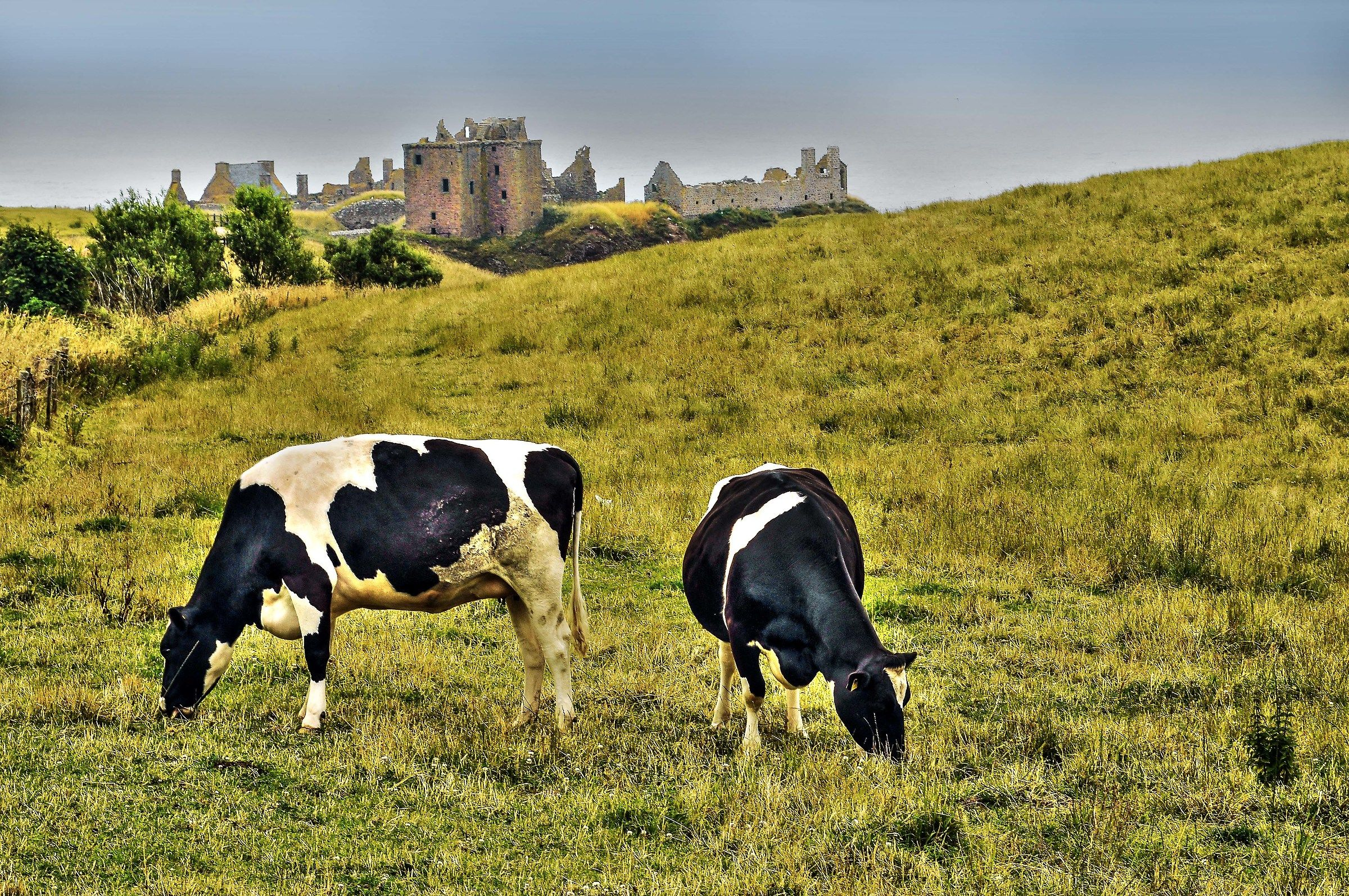 grazing cows...