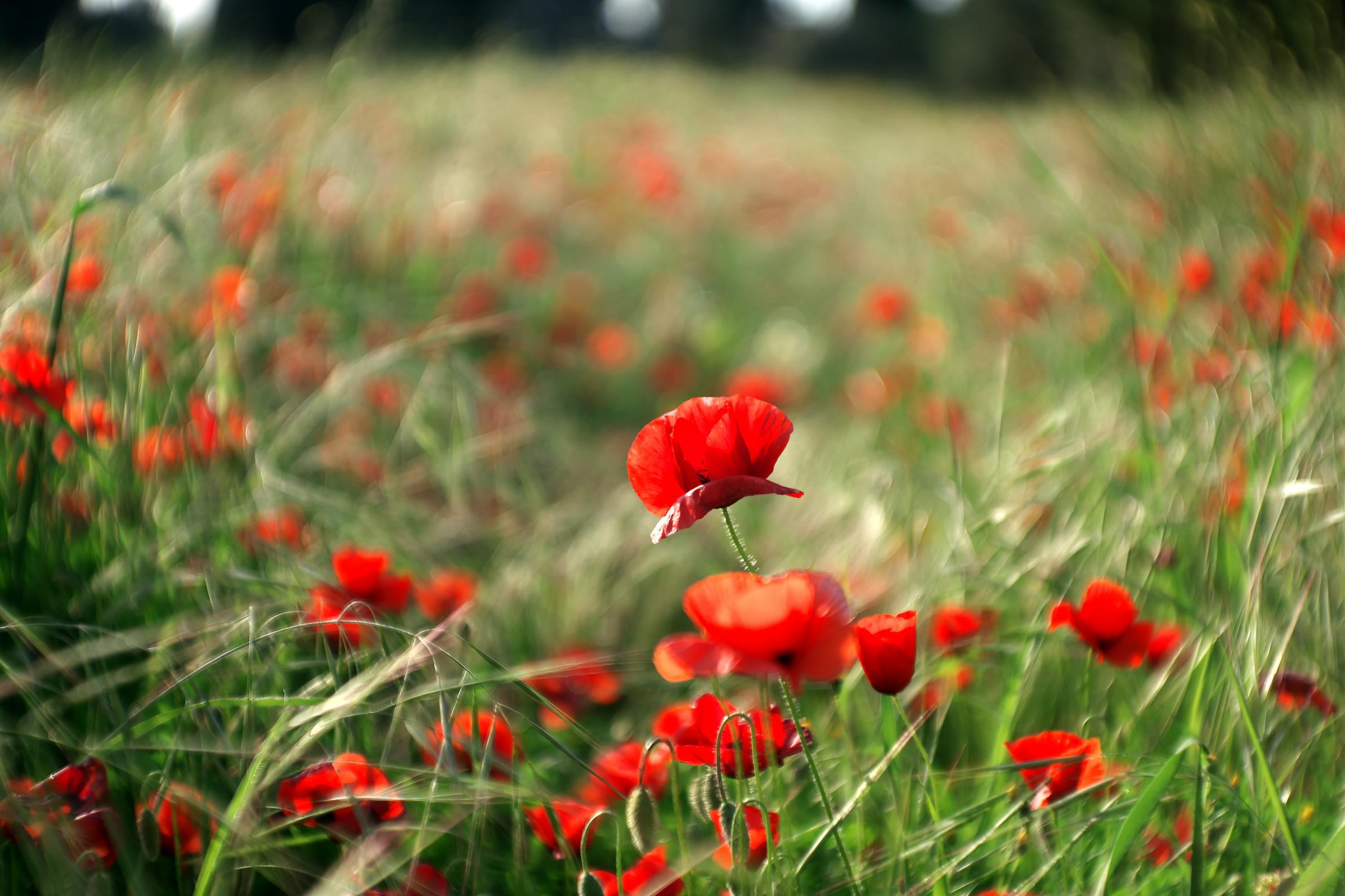 Poppy colors ......