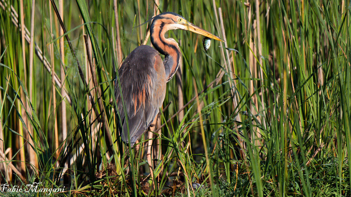 Red Heron with Prey...