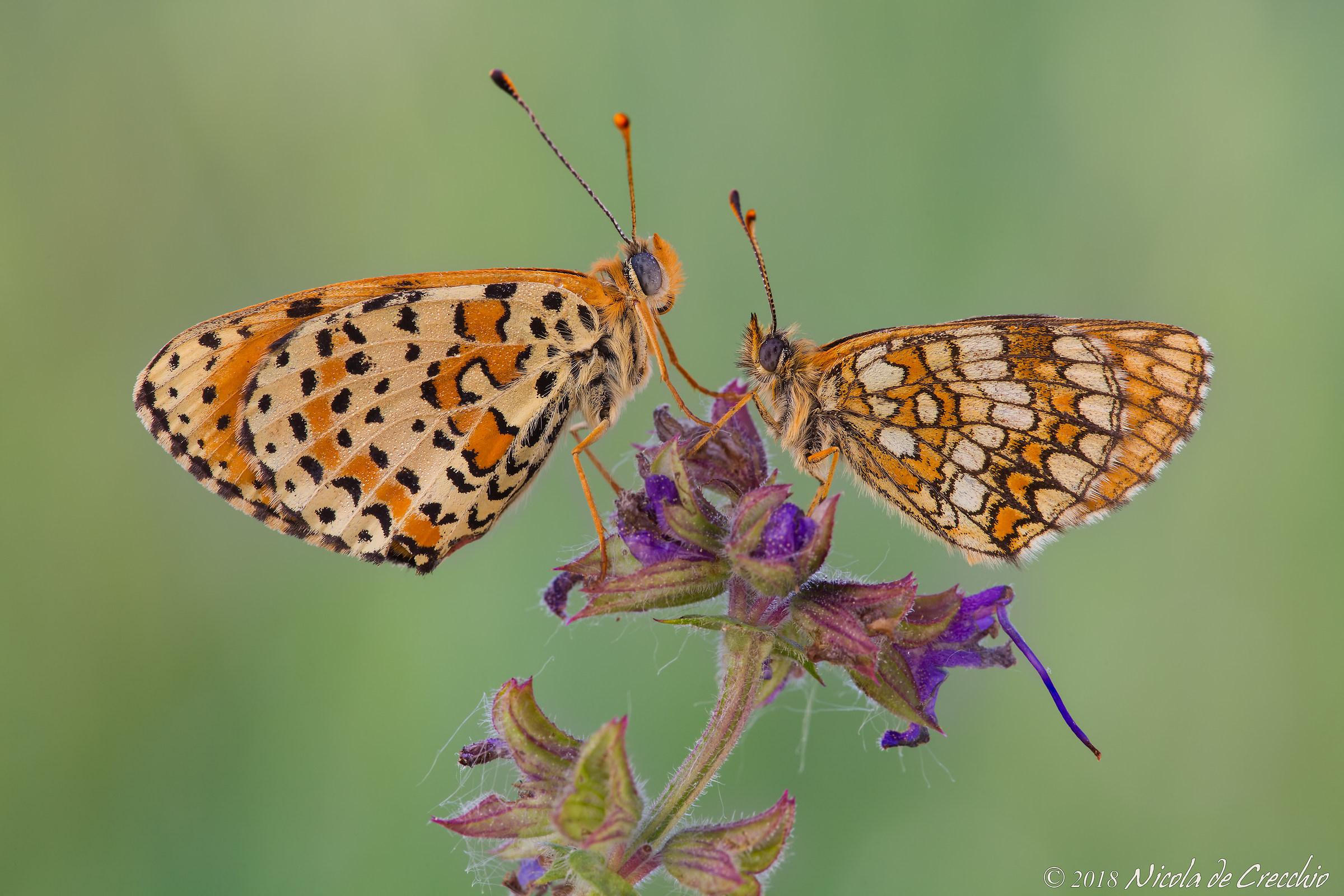 Melitee (Didyma and Nevadensis)...