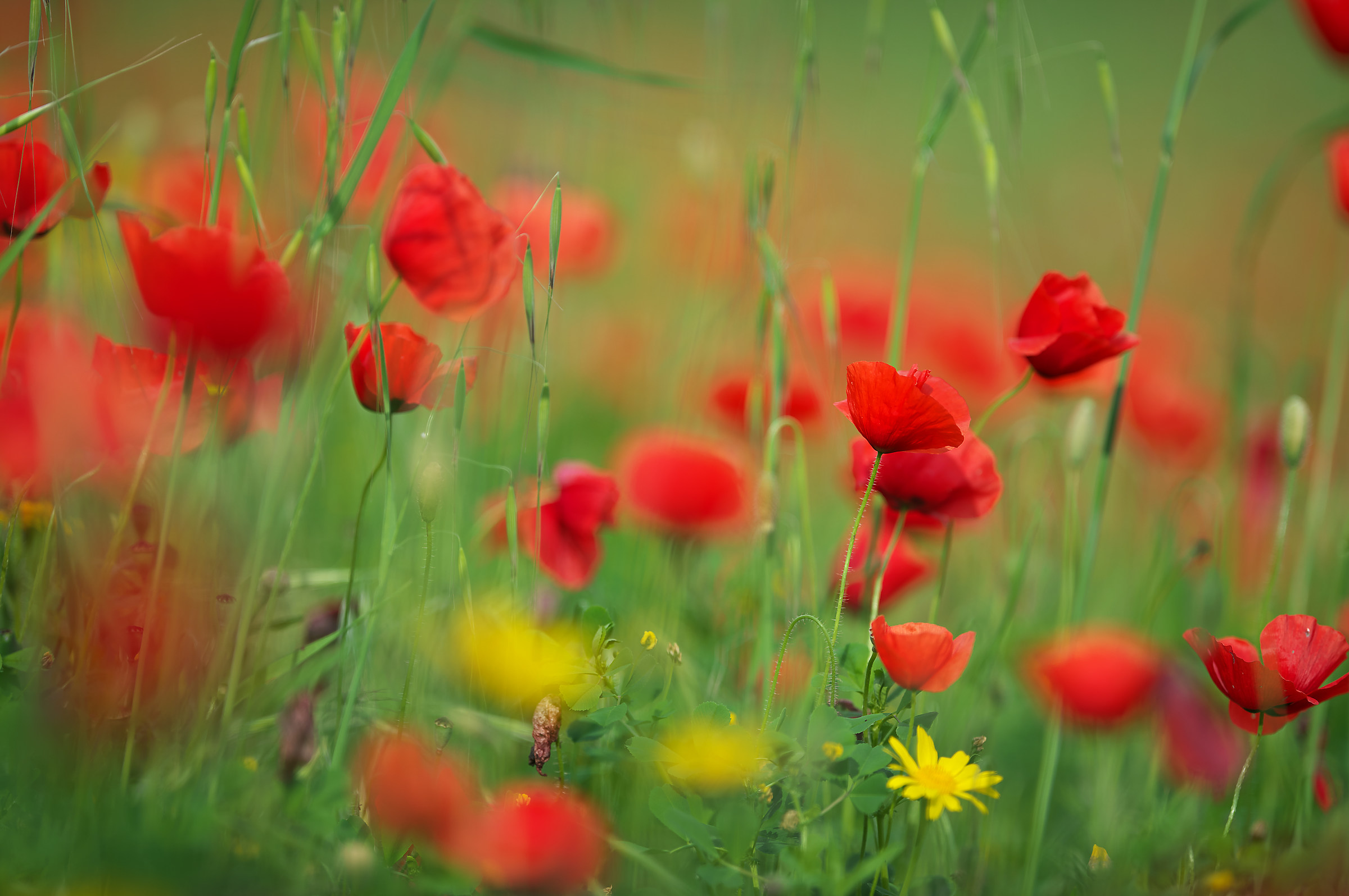 Red Poppies...il Flower of the beautiful season...
