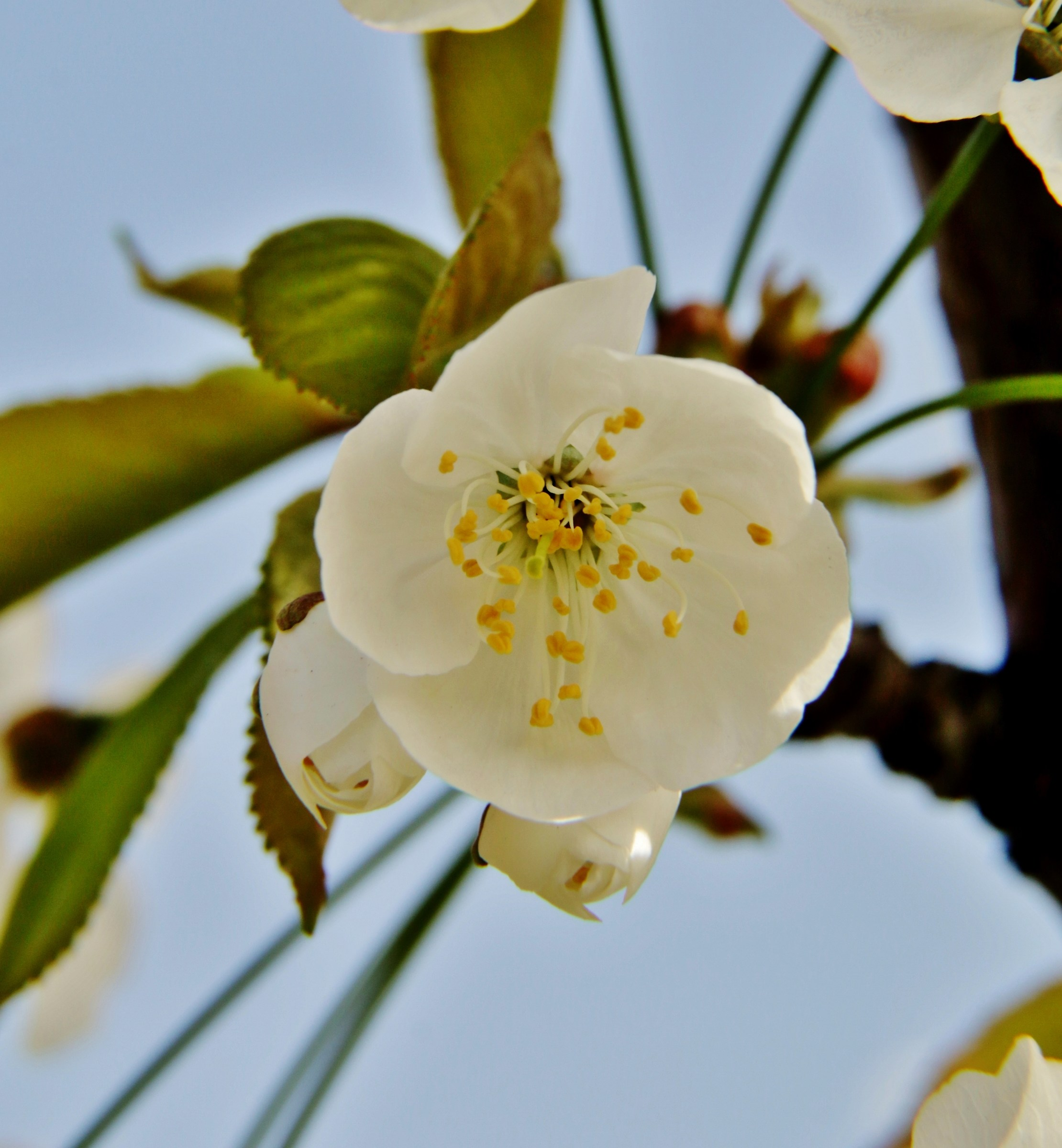 Flower of Sour cherry...
