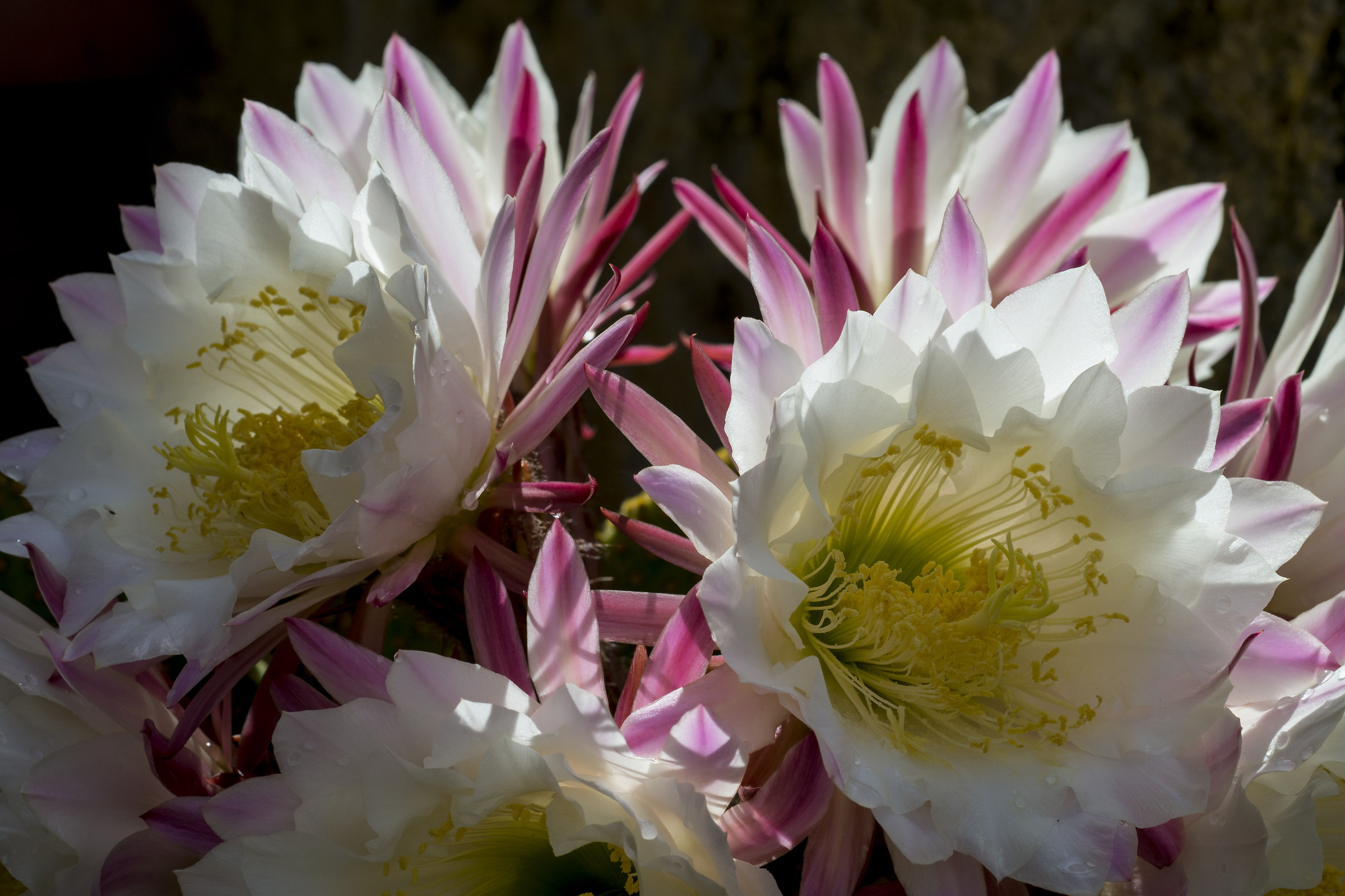 Fiori di cactus appena sbocciati...