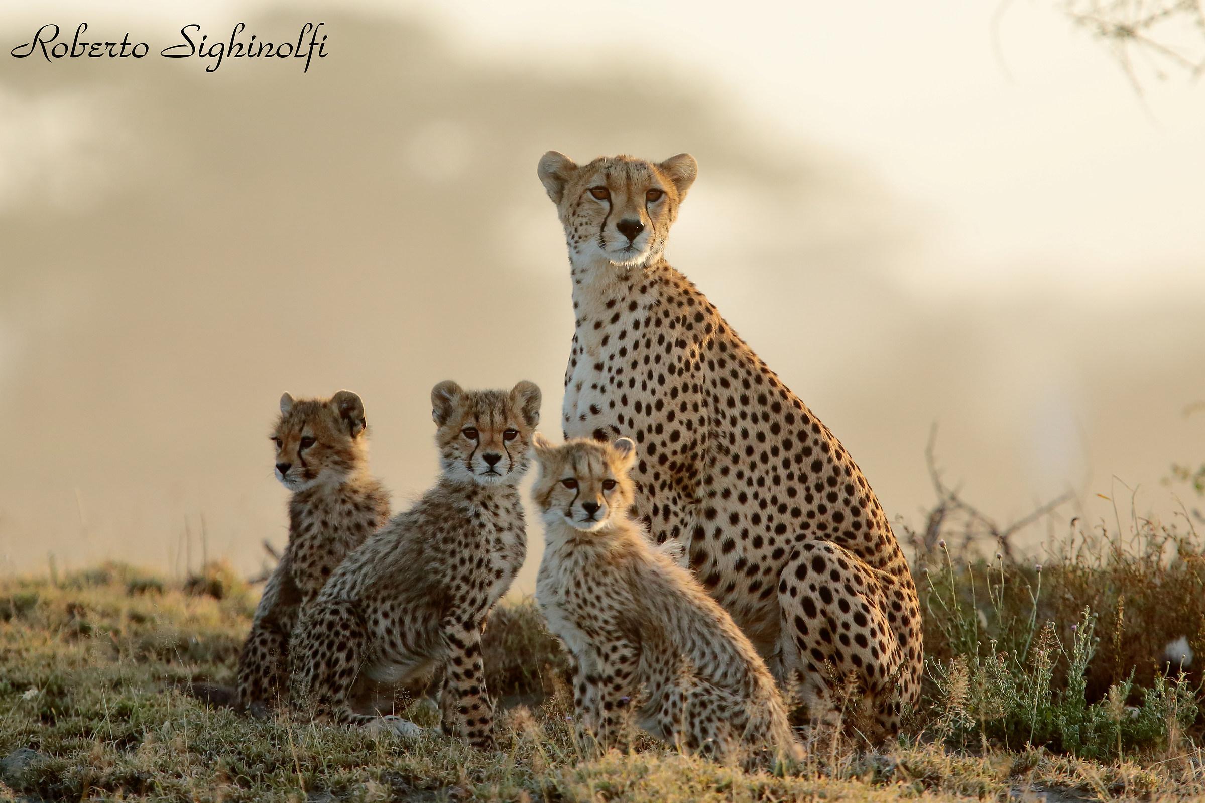 Cheetahs...
