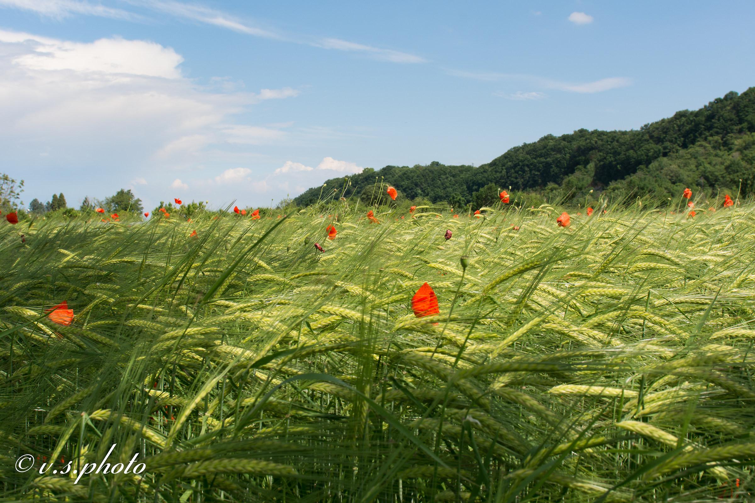 Papaveri in un campo di grano....