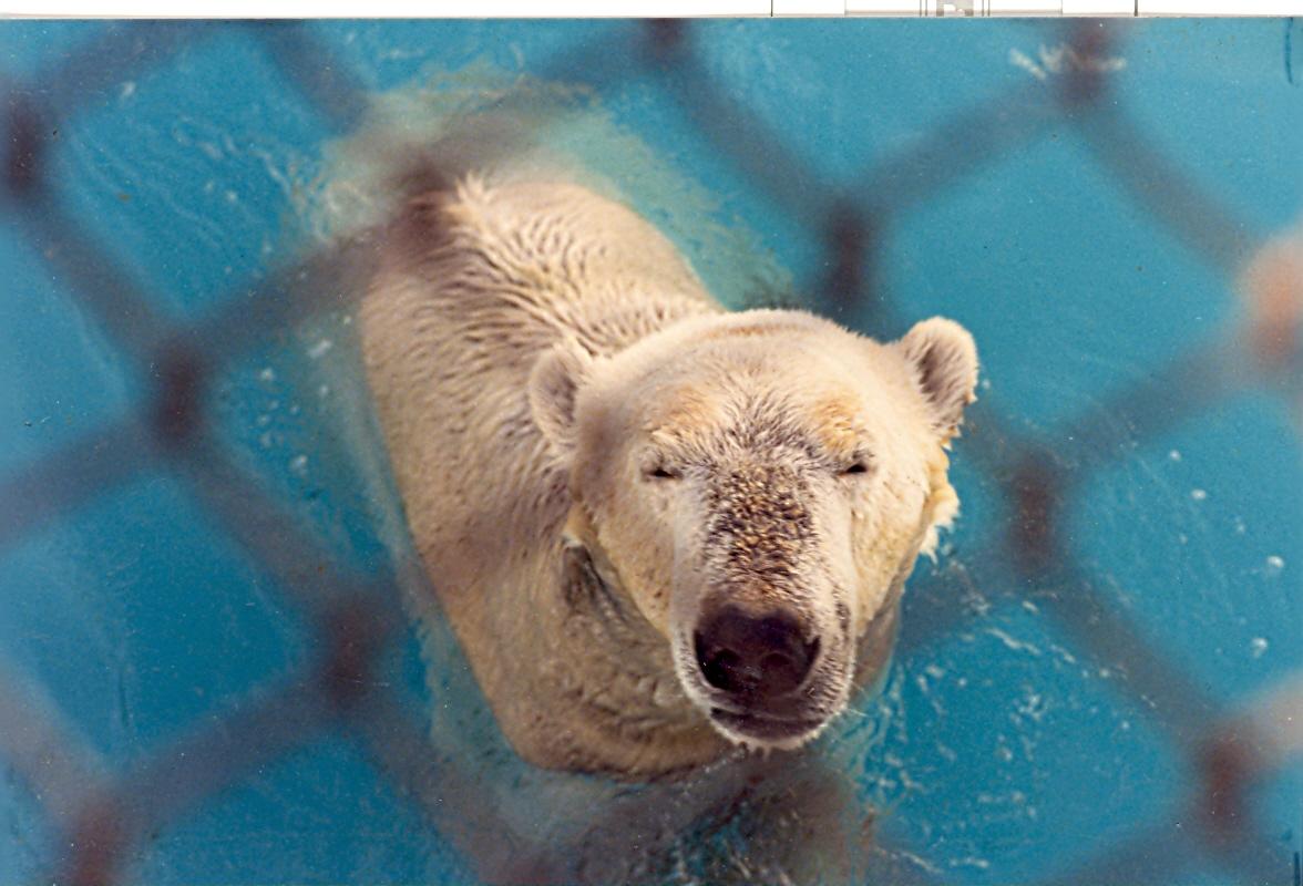 Orso bianco zoo di Roma...