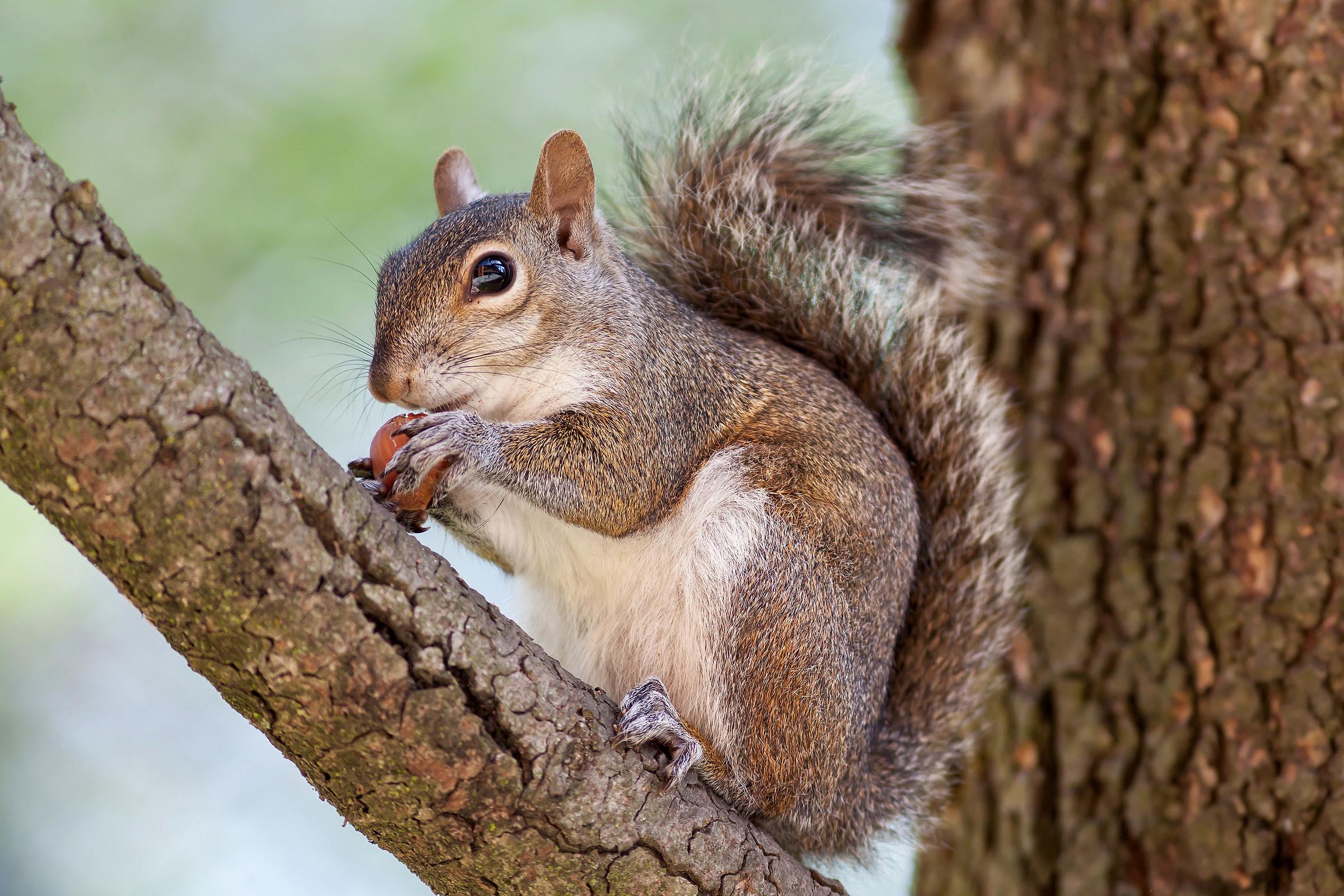 Squirrel (Sciurus carolinensis Gmelin, 1788)...