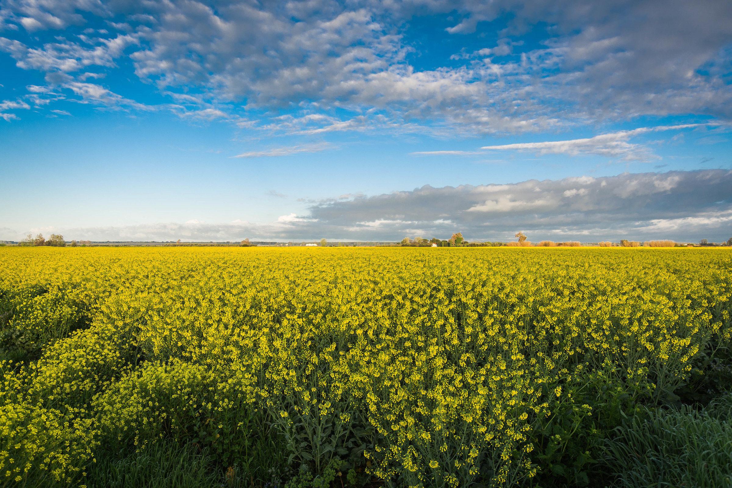 A yellow field...