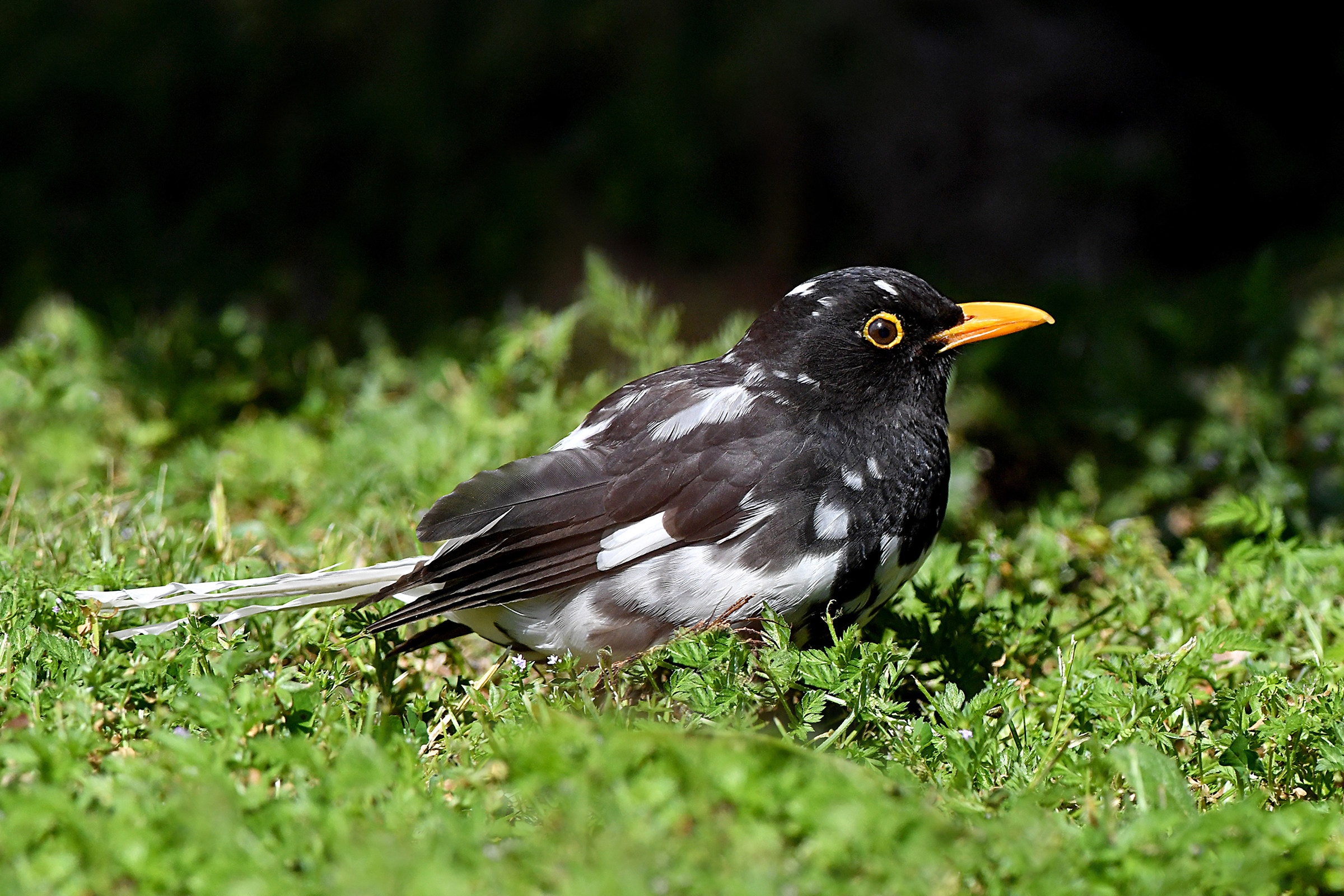 Stories of Feathers 3 (Blackbird)...