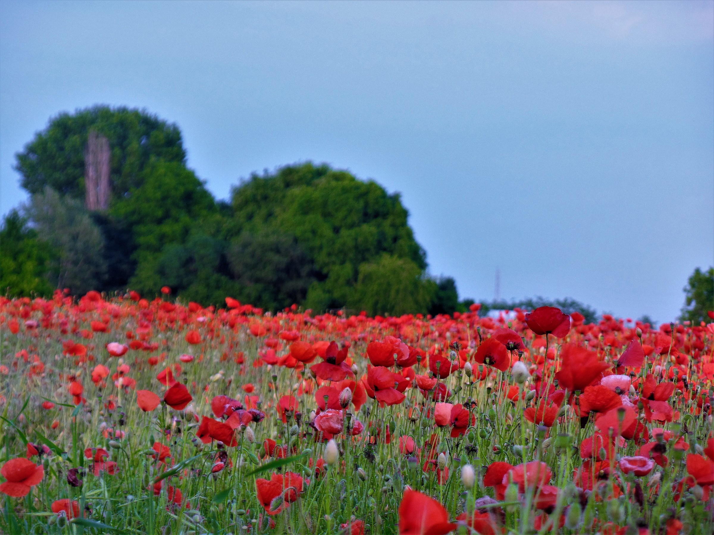 Real poppies.......