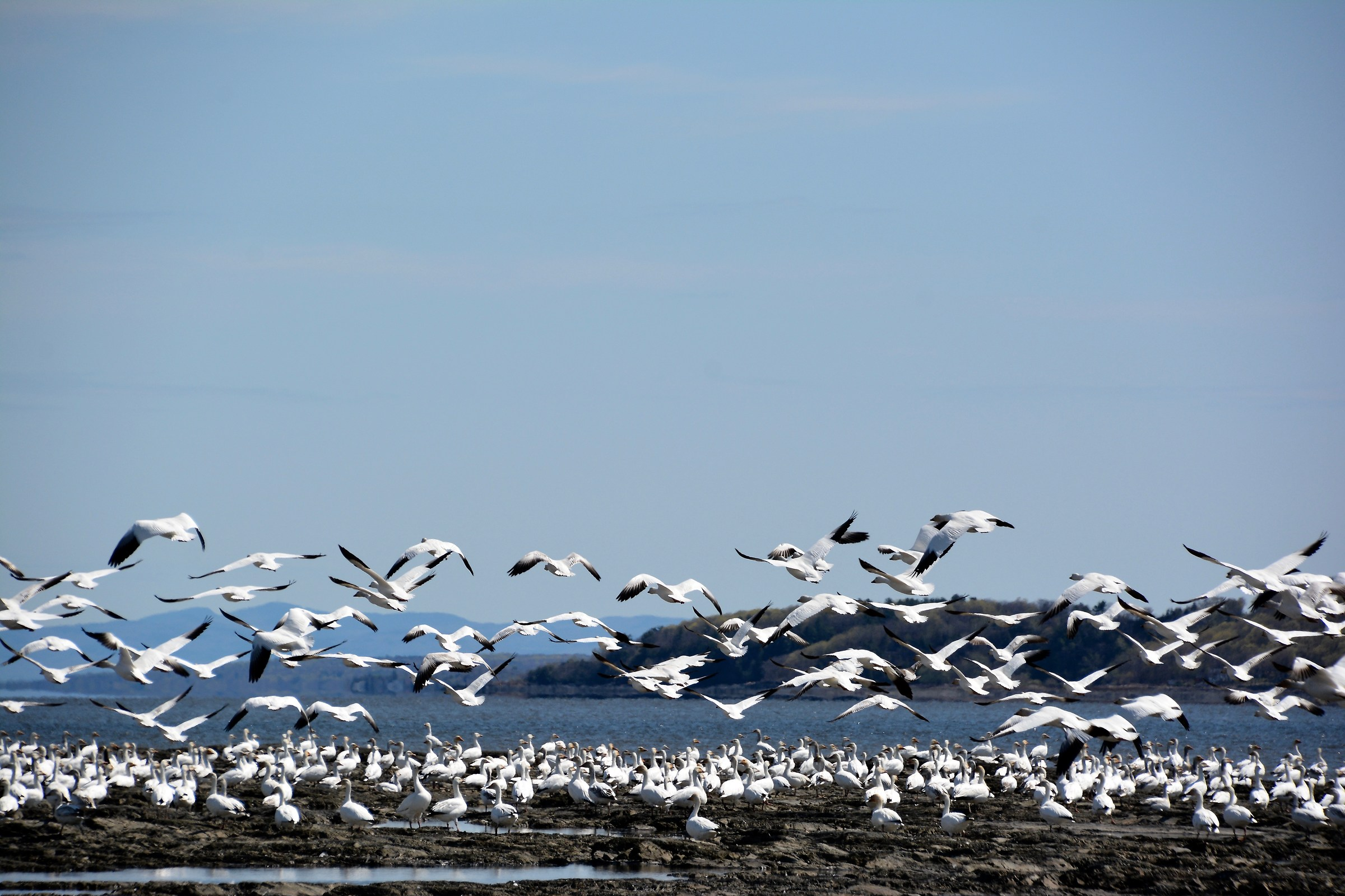 Thousands of geese migrate seasonally, QC, St-Vallier...