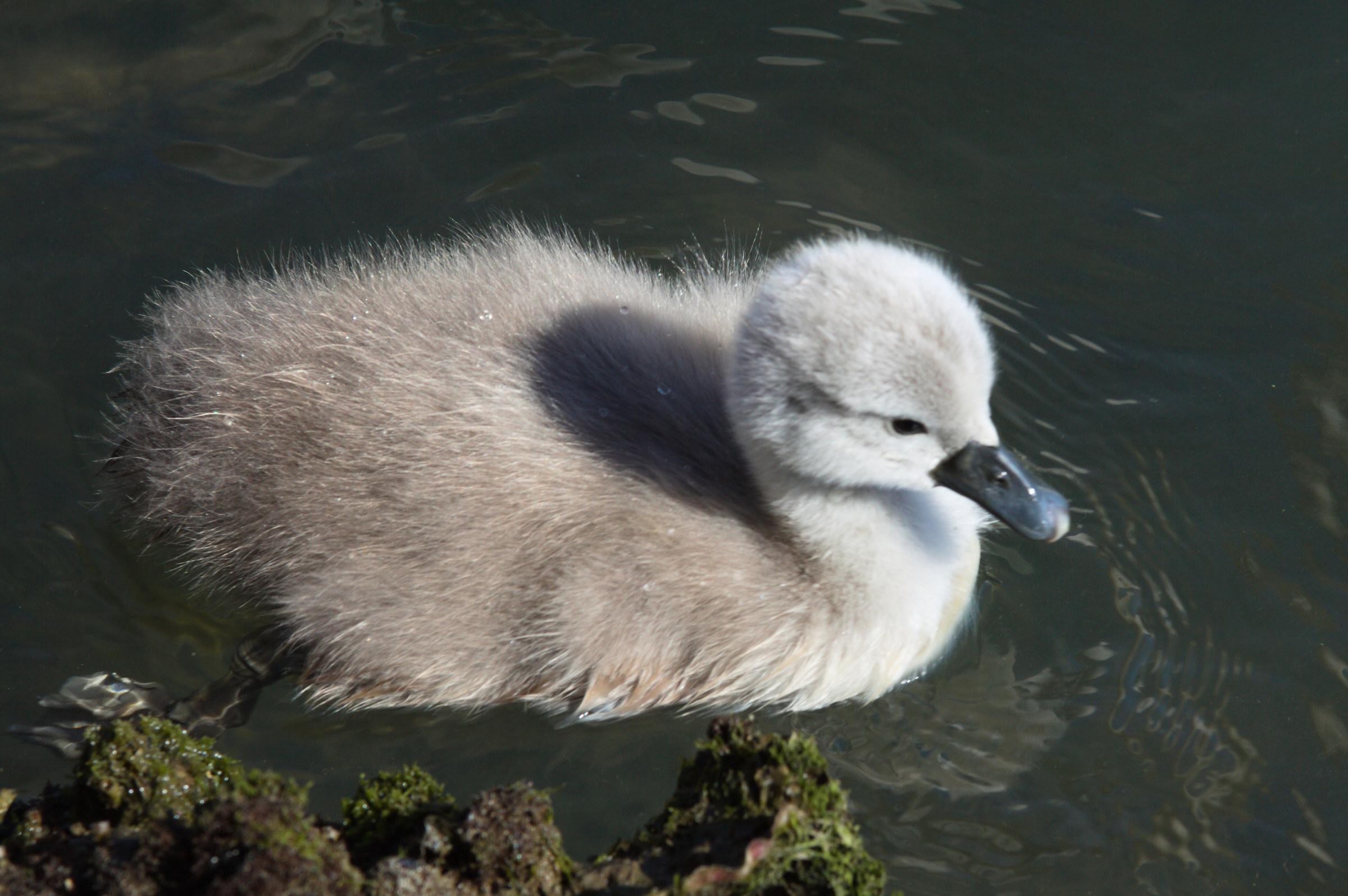 The Swan...