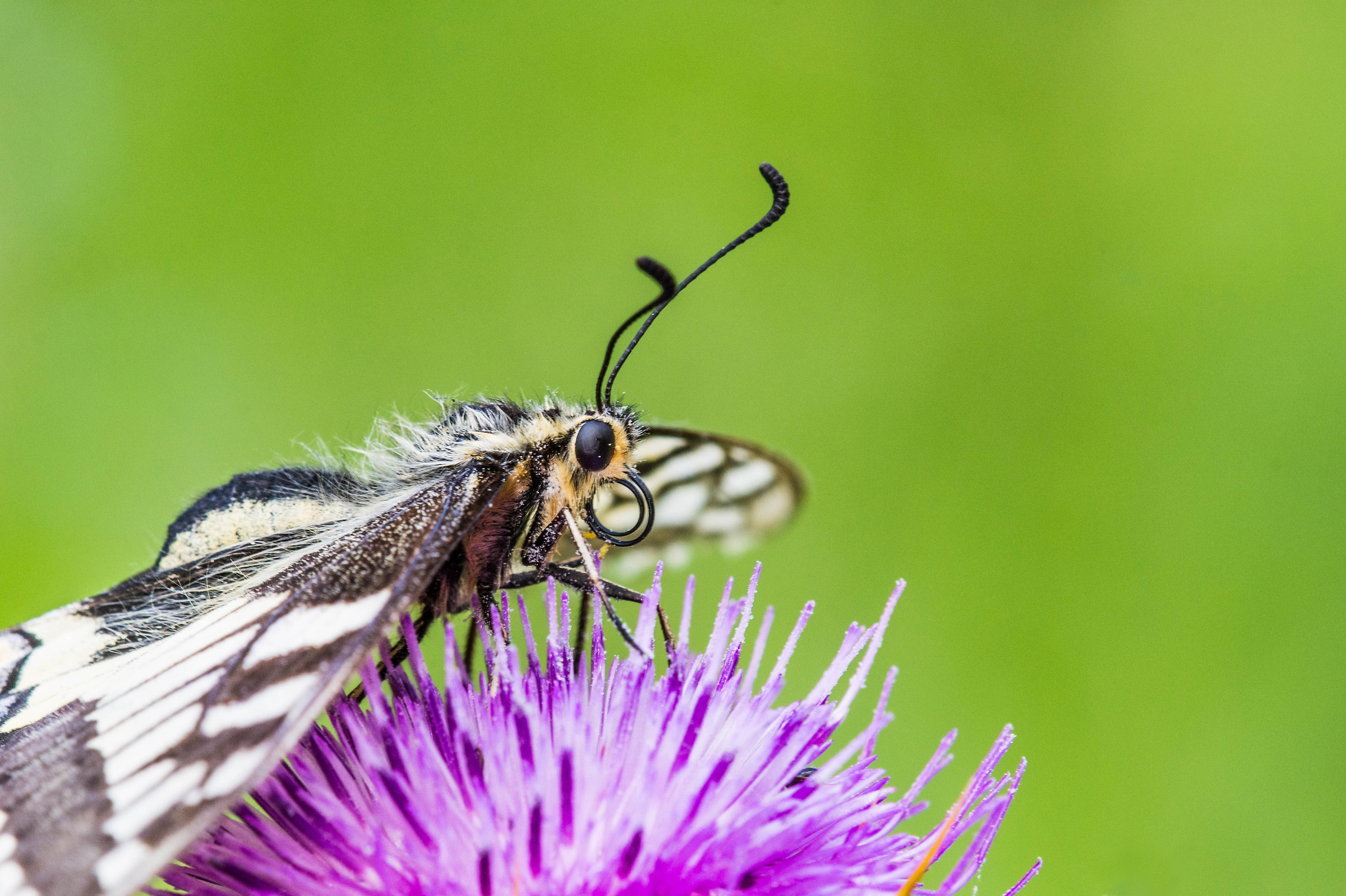 Papilio Machaon on the flower of a milk thistle...