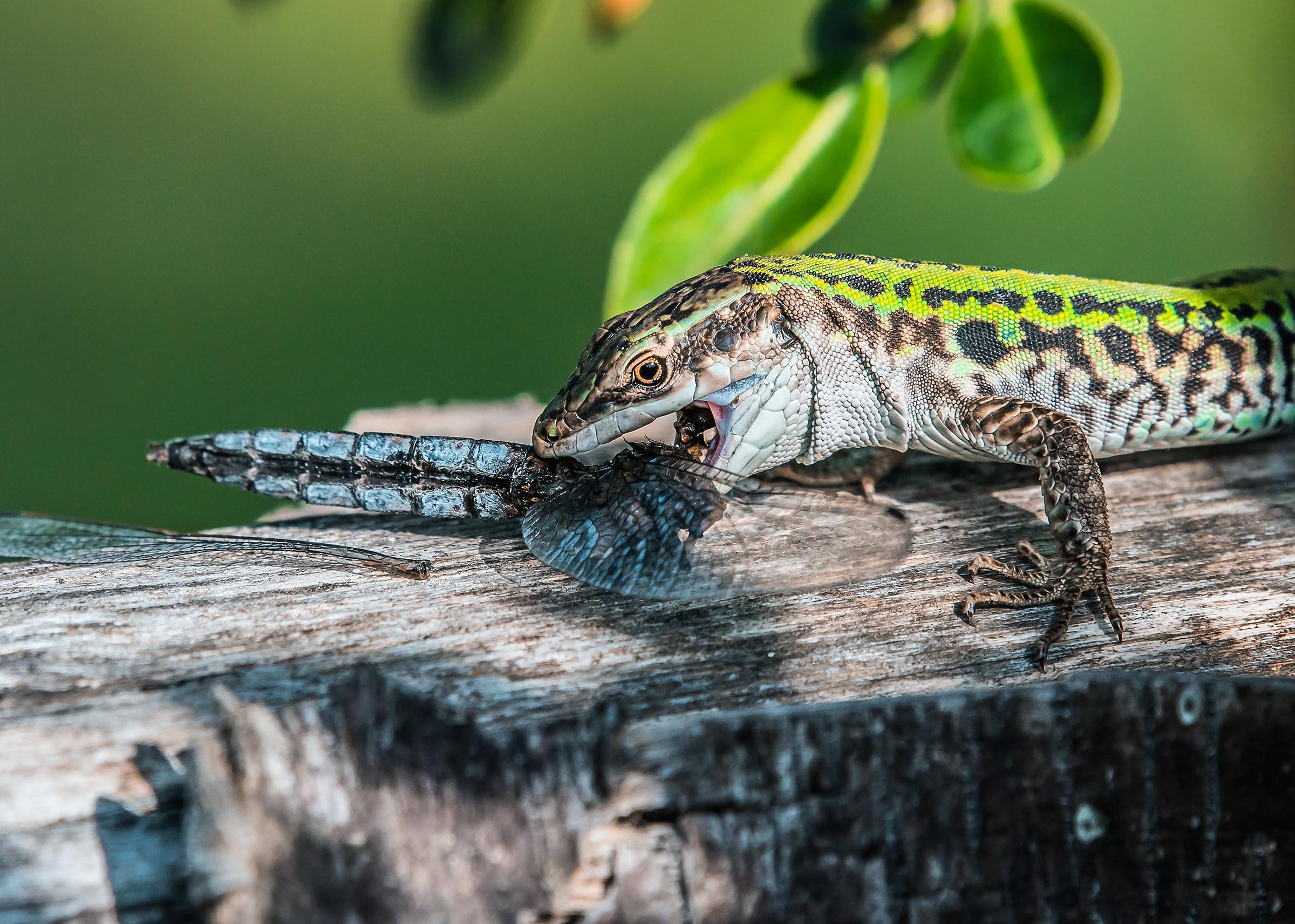 Lizard with Prey...