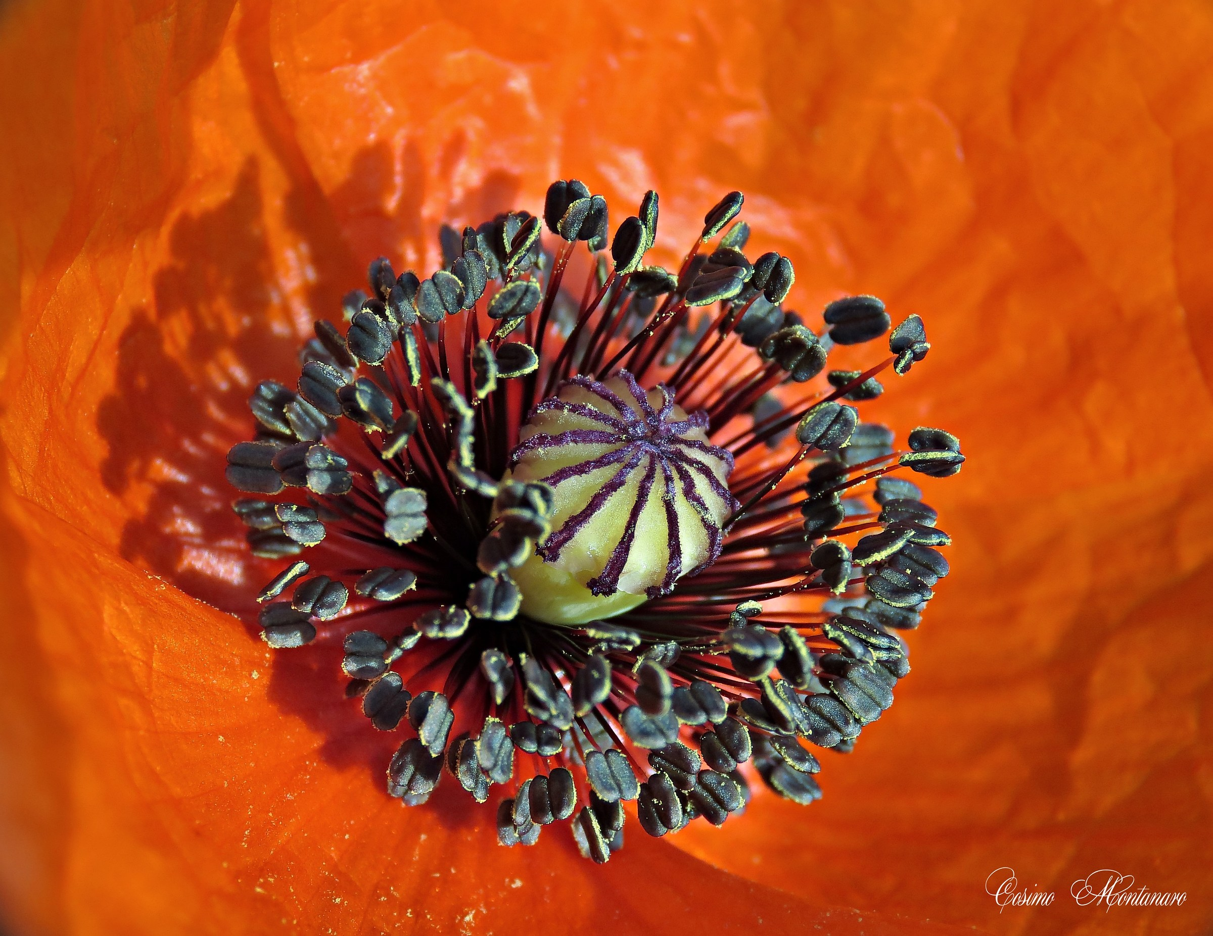 In the heart of the poppy...