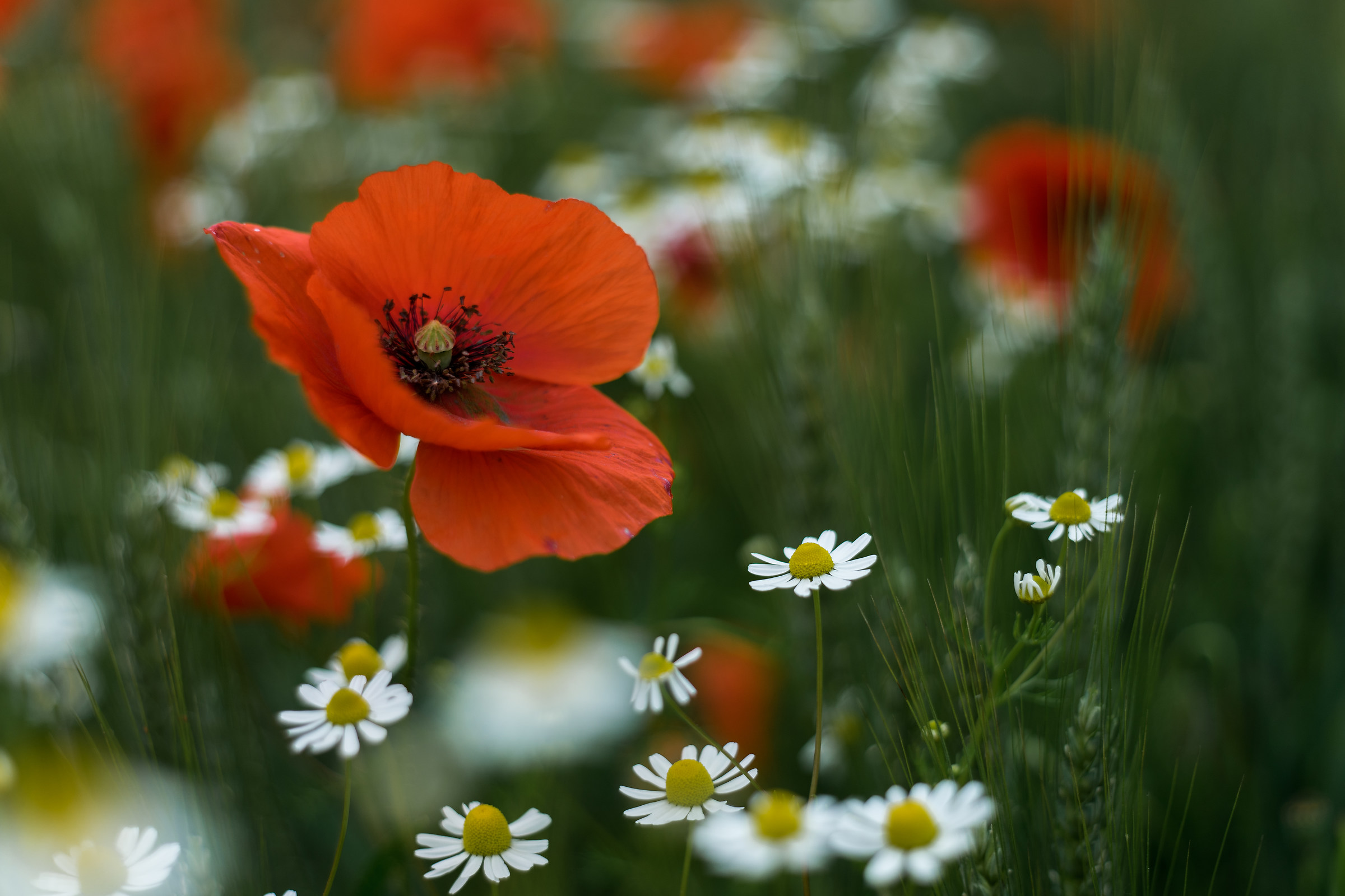 Poppies among daisies...