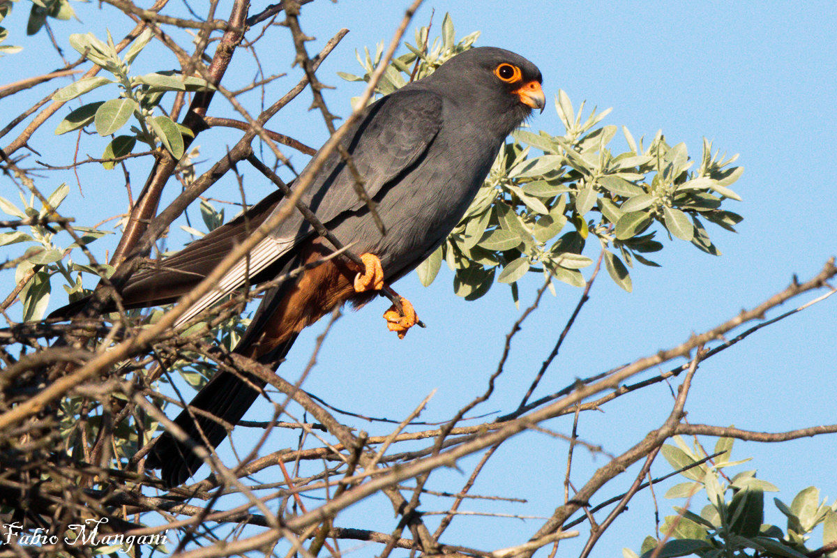 Falcon Cuckoo...
