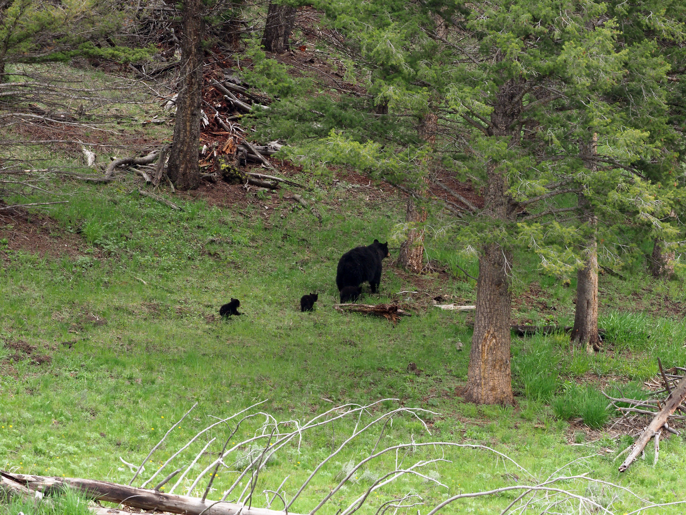Yellowstone: Mother Bear and the three puppies...