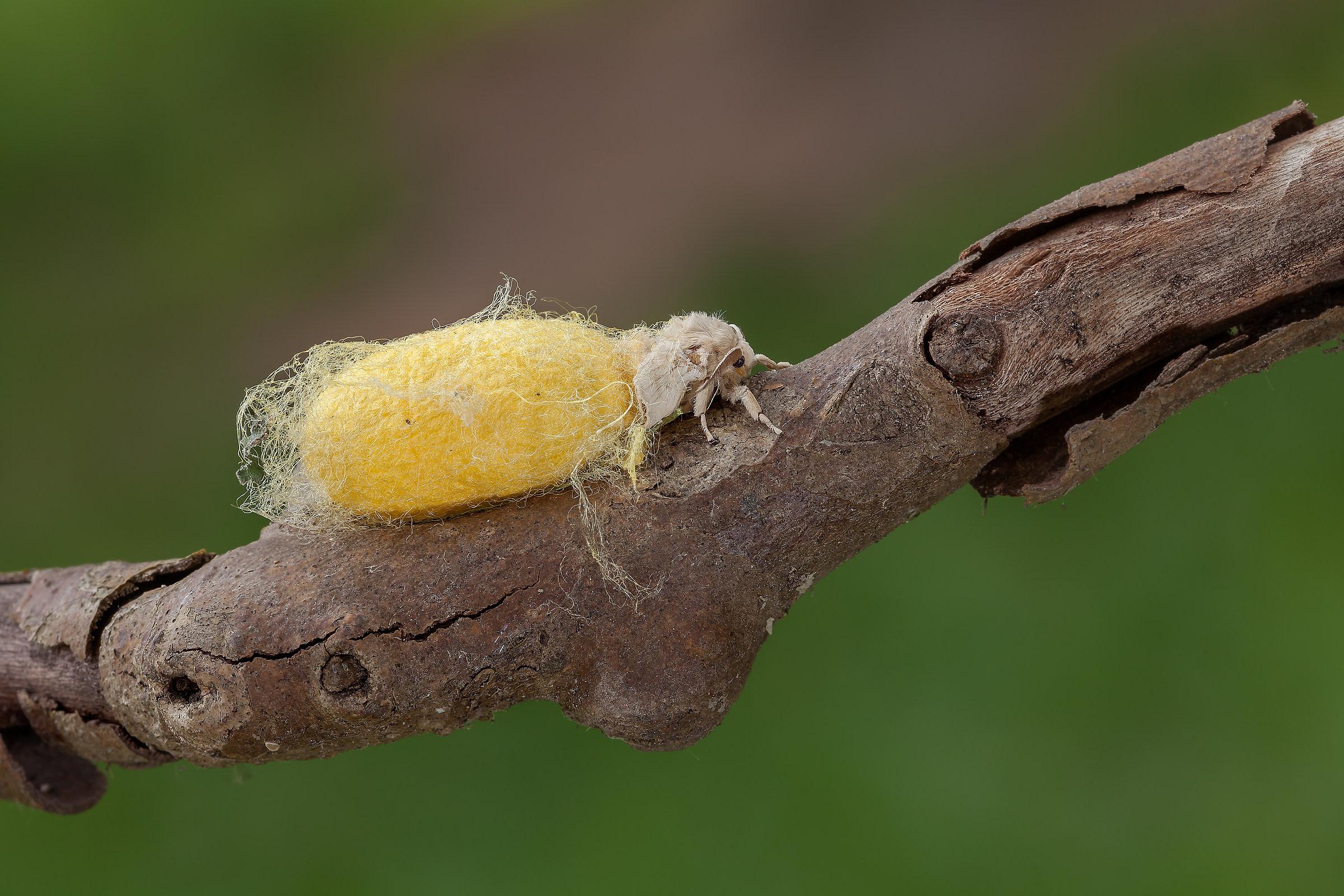 Bombyx Mori (Linnaeus, 1758)-Silkworm-...