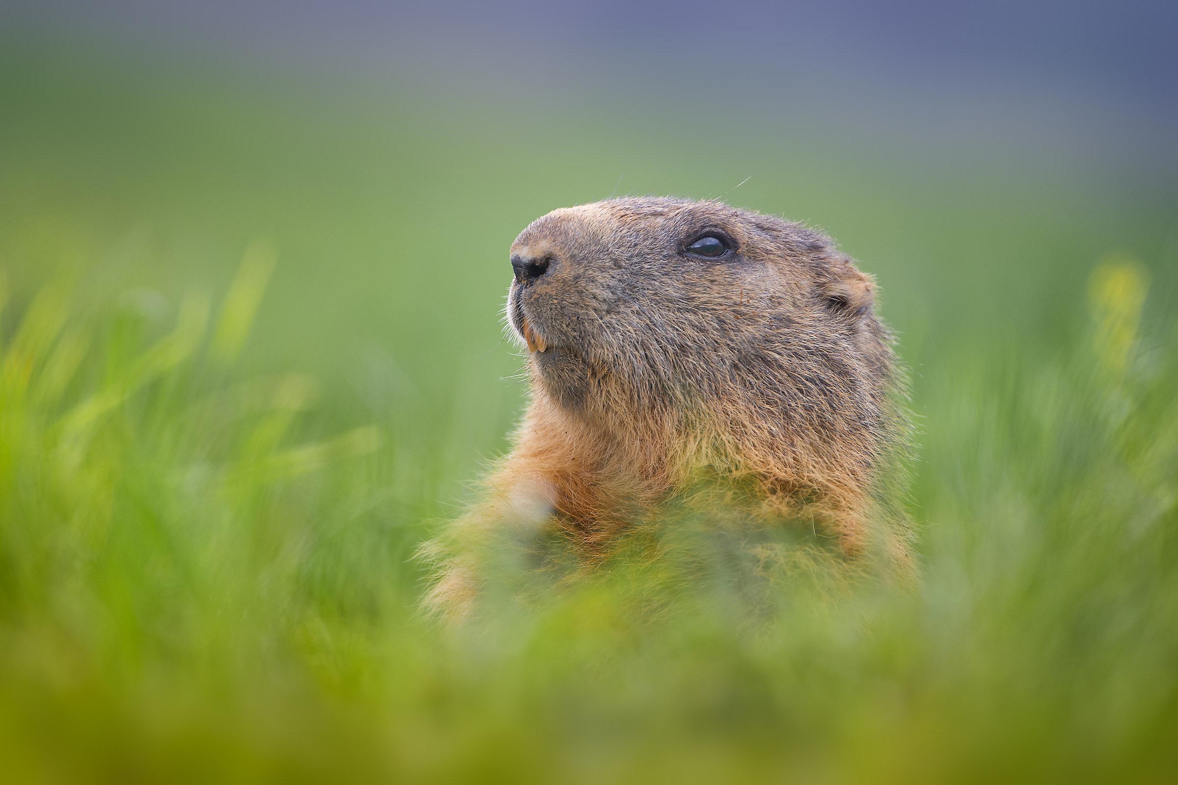 Marmot!...