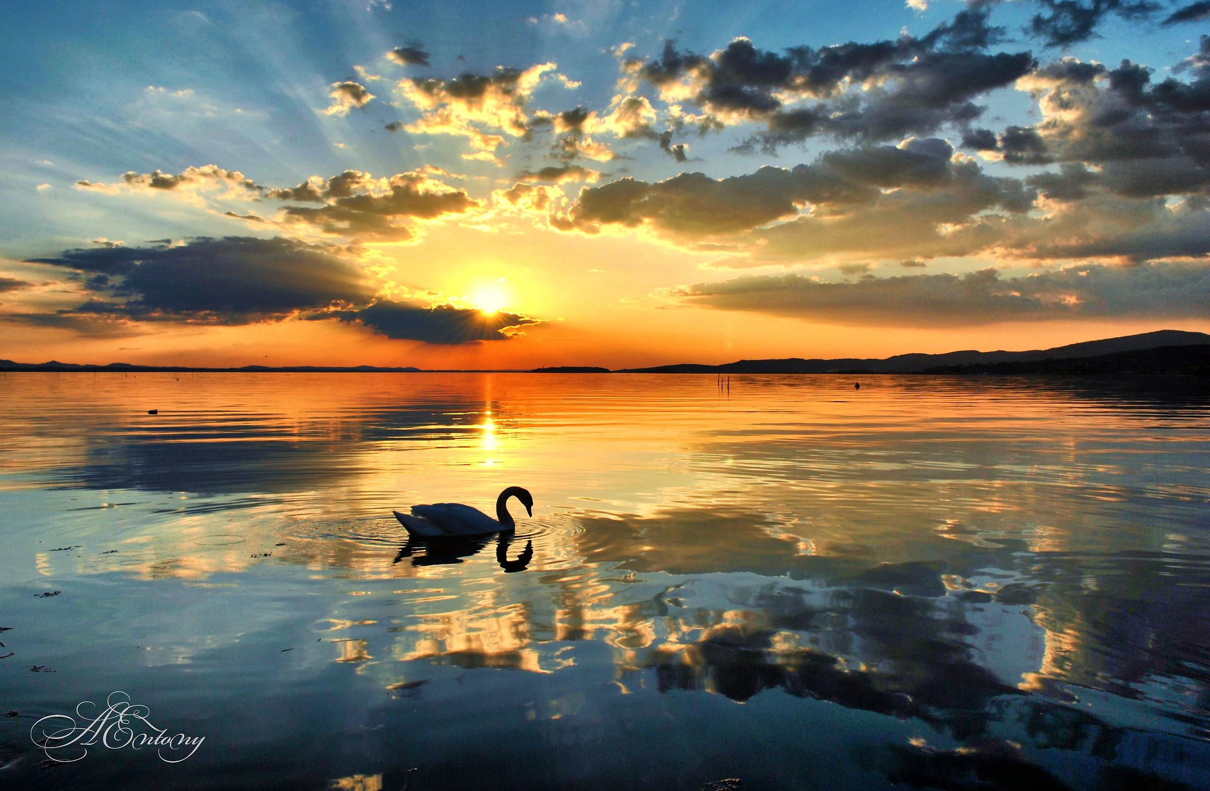 Swan at sunset...
