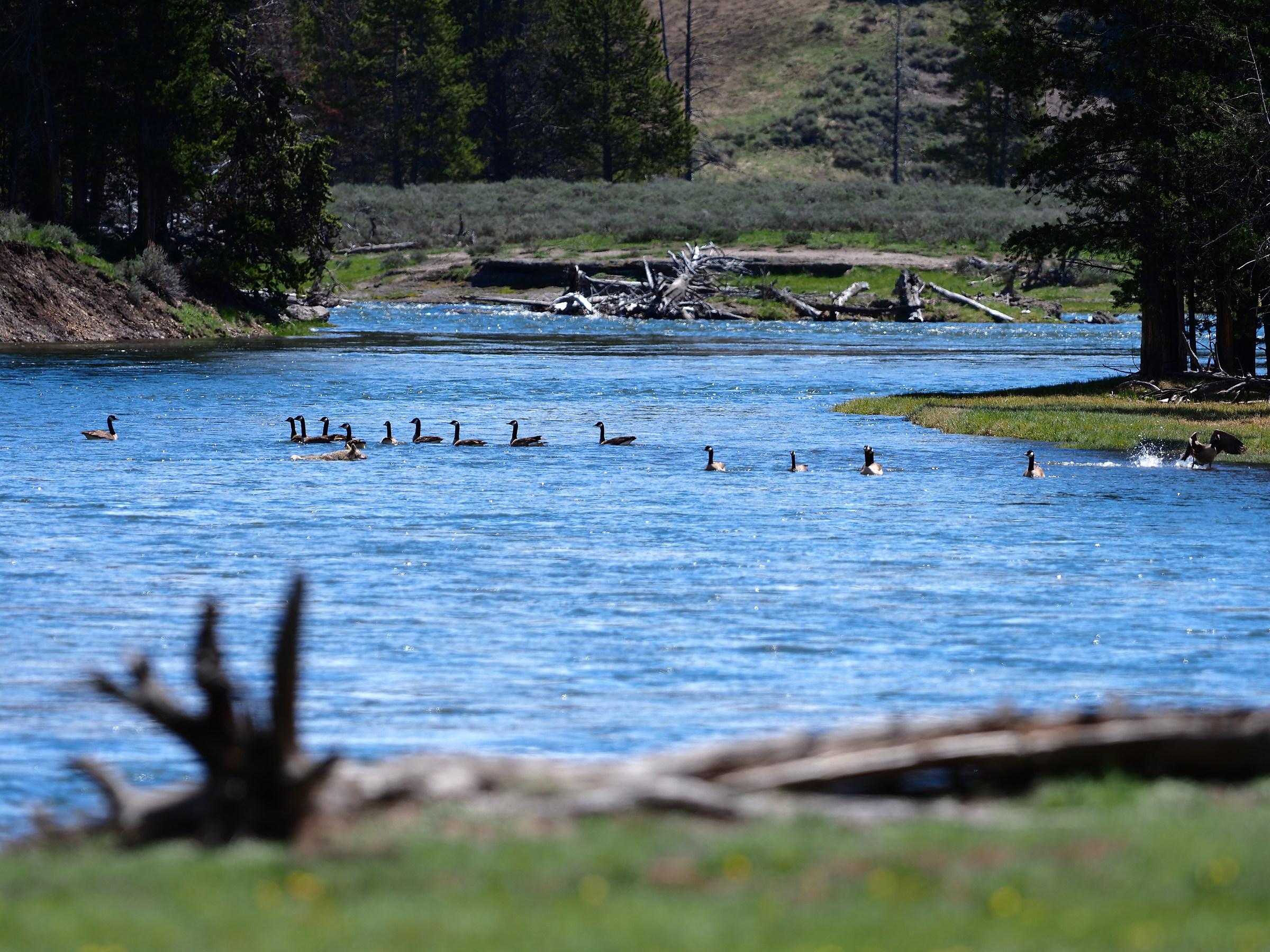 Yellowstone: Scenes of everyday life...