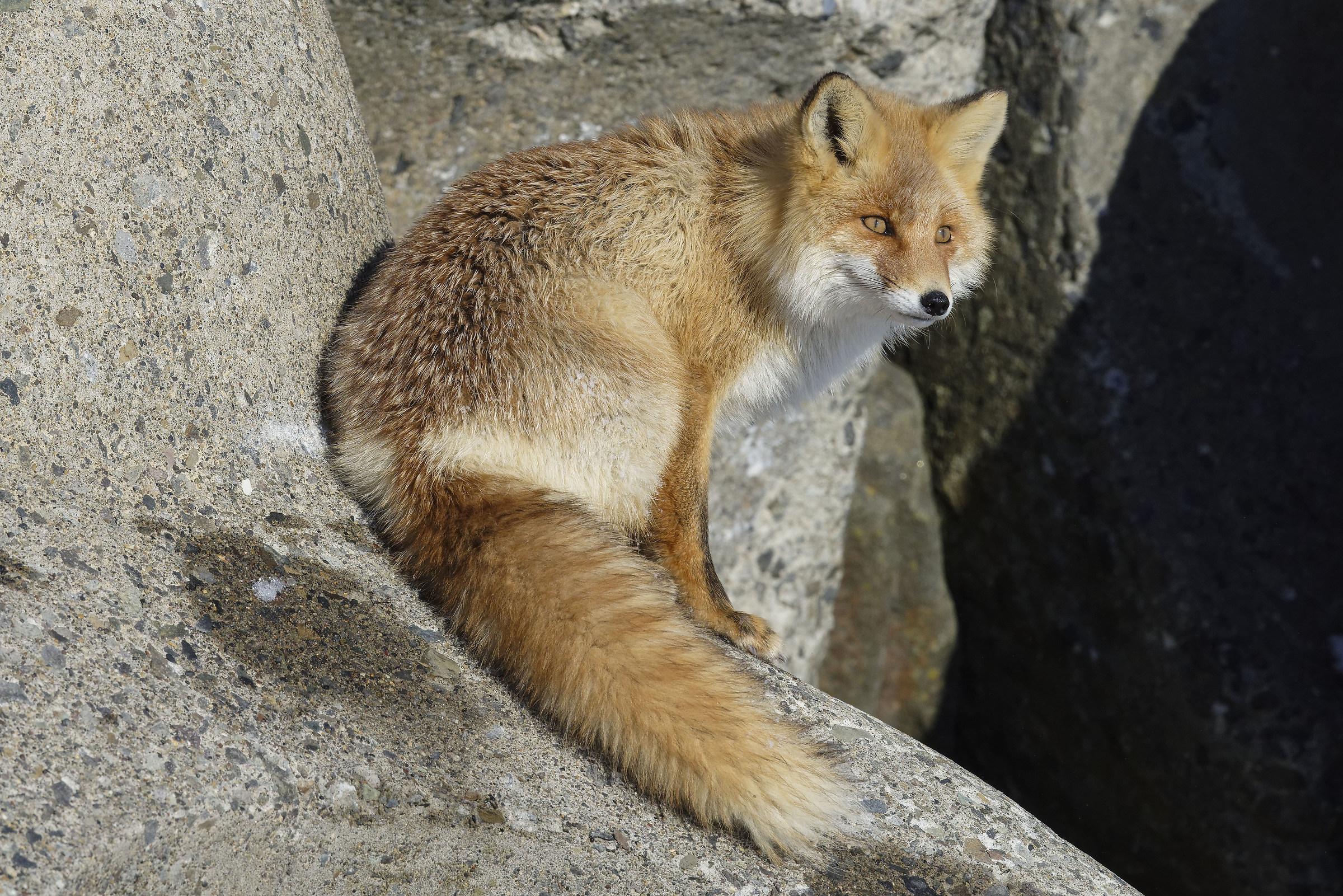 Hokkaido Fox...
