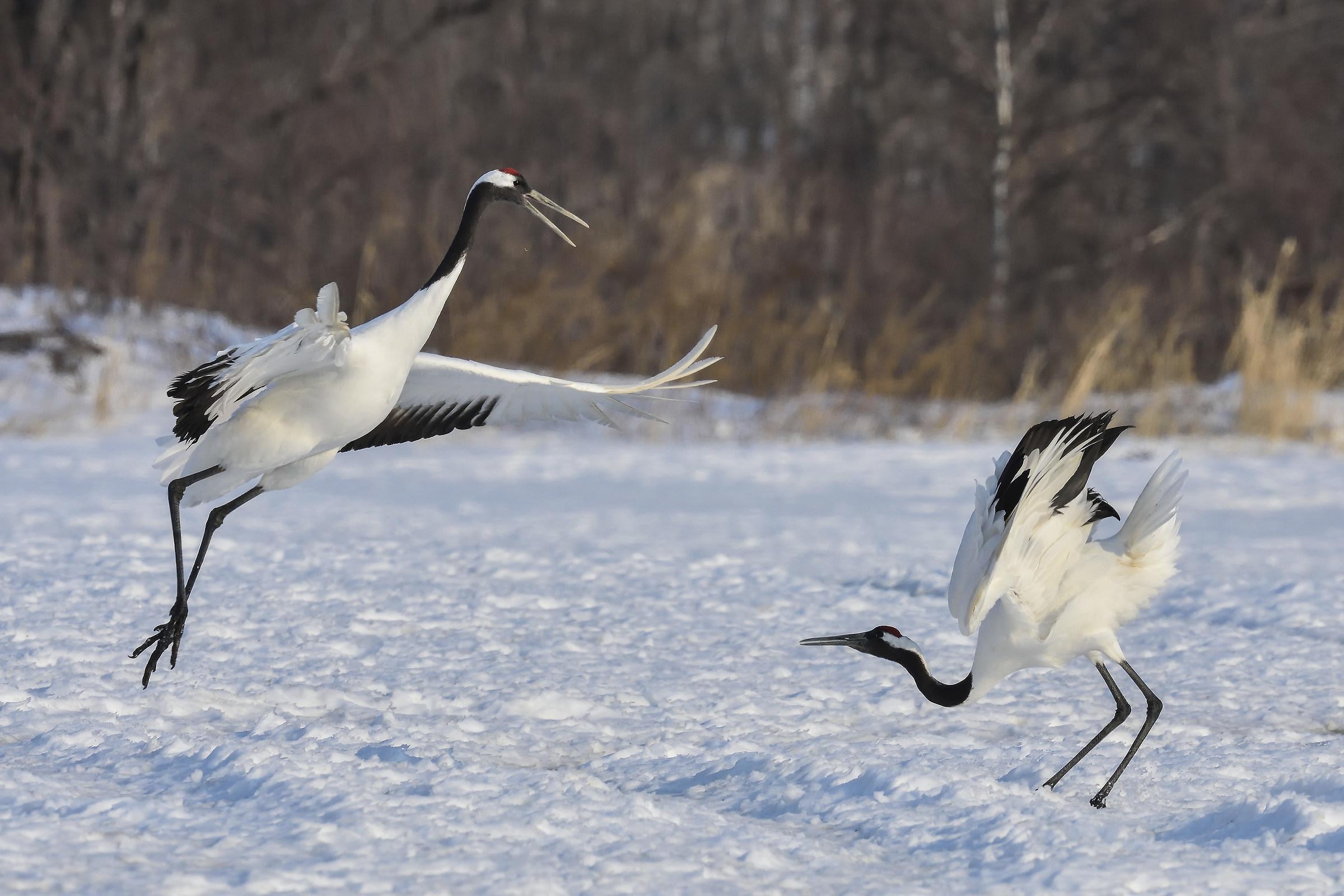 Manchurian Crane in Courtship...