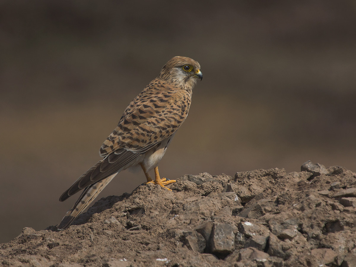 Common Kestrel 2...