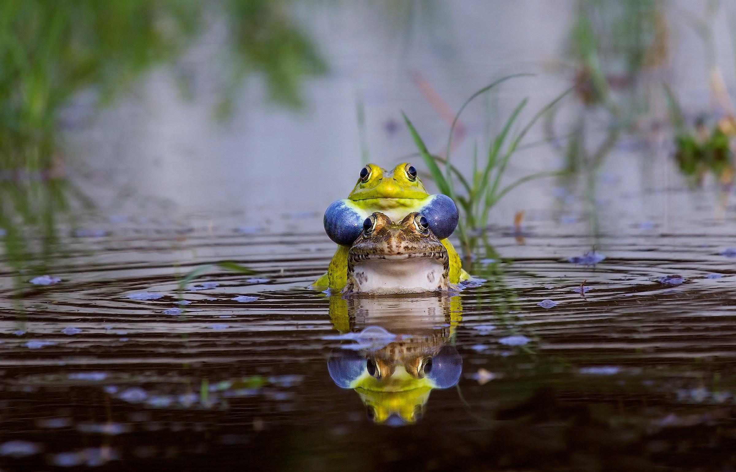 Bull Frog mating ....