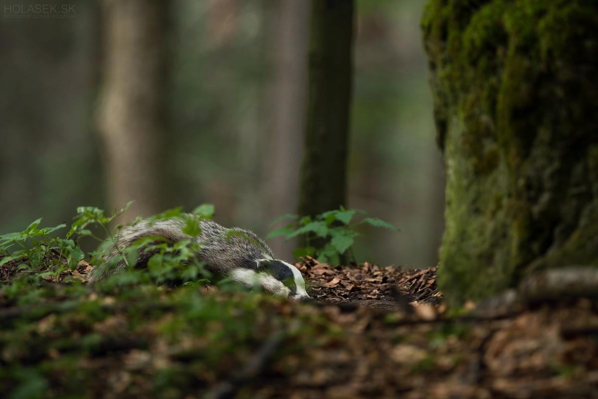 Sleeping badger...