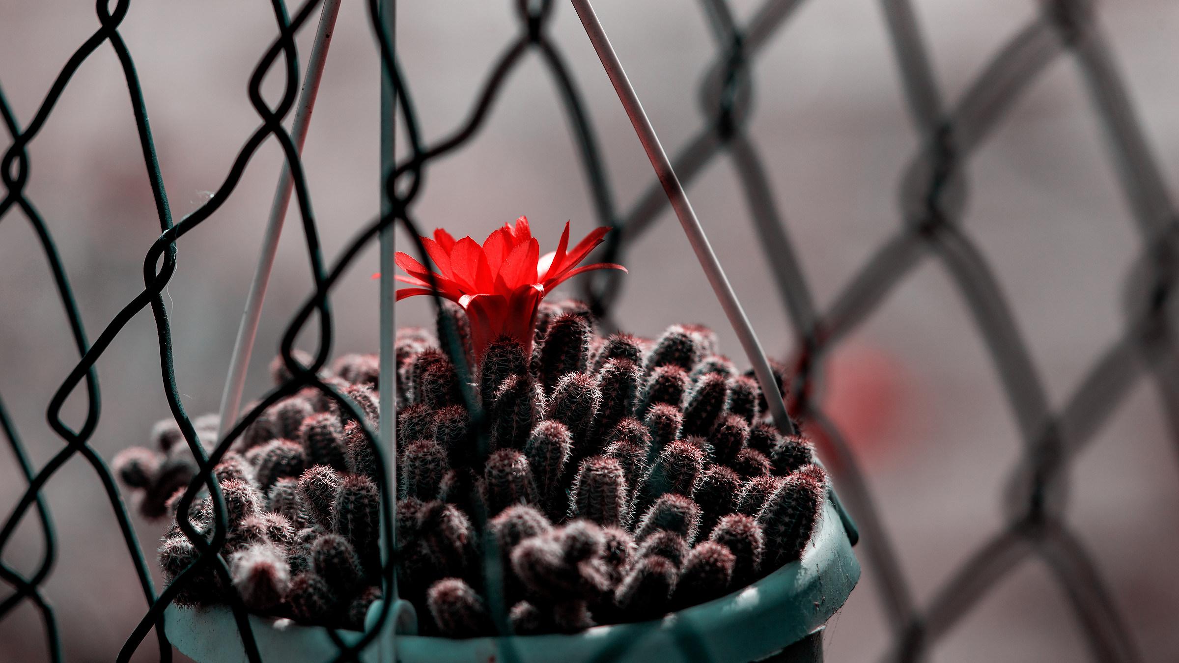 Fiore di cactus rubato...
