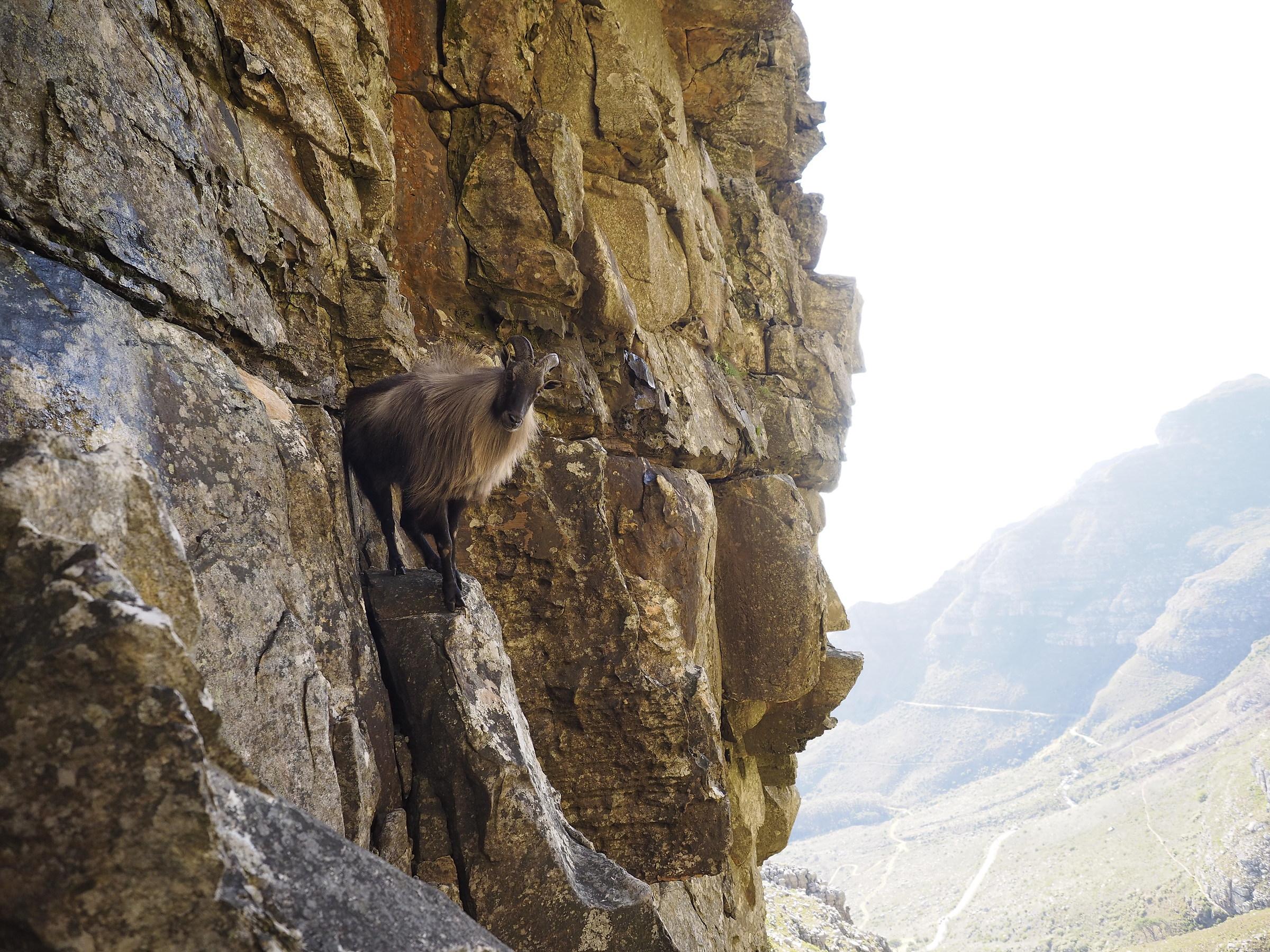 Thar Goat on Table Mountain ...
