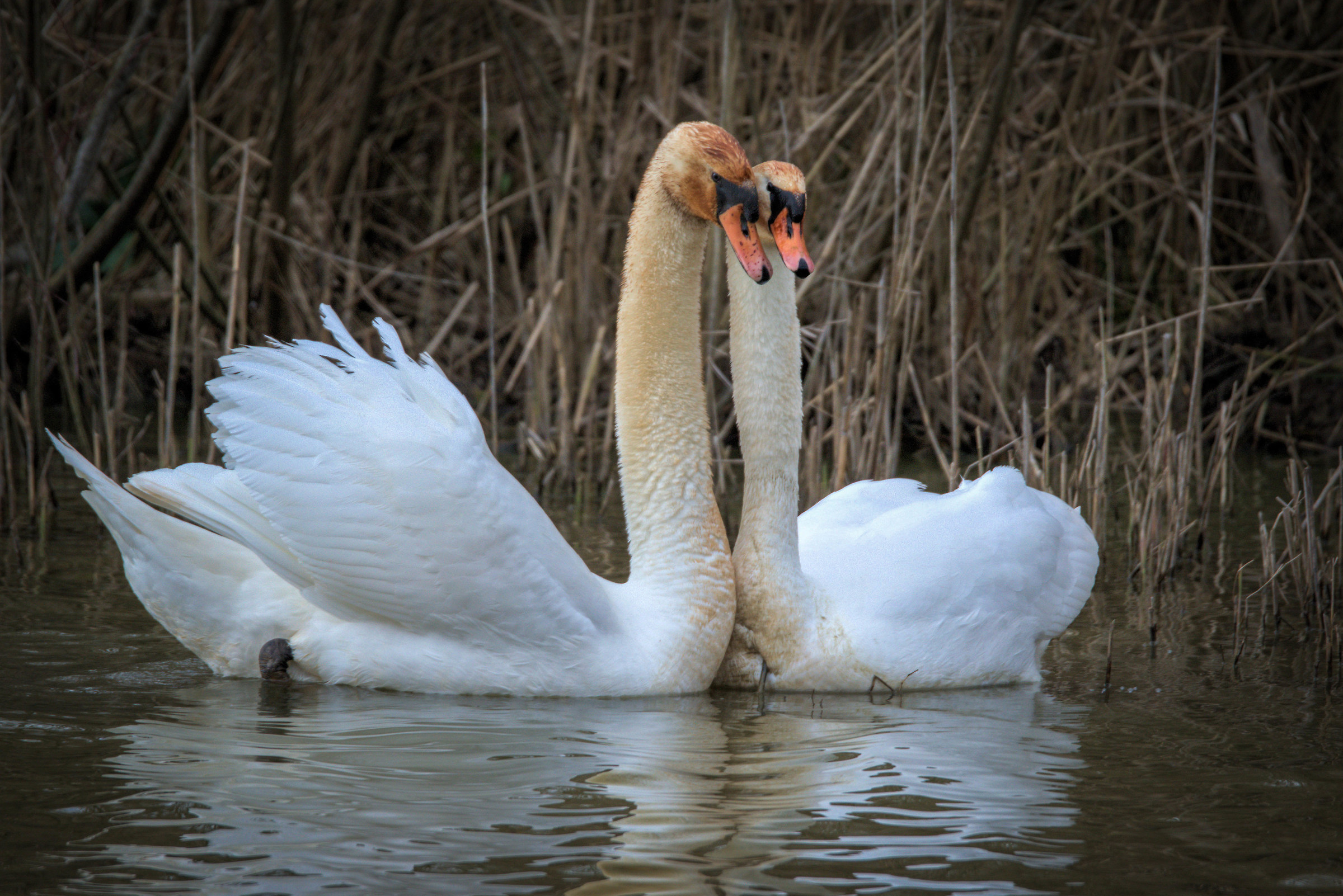 Swans in courtship...