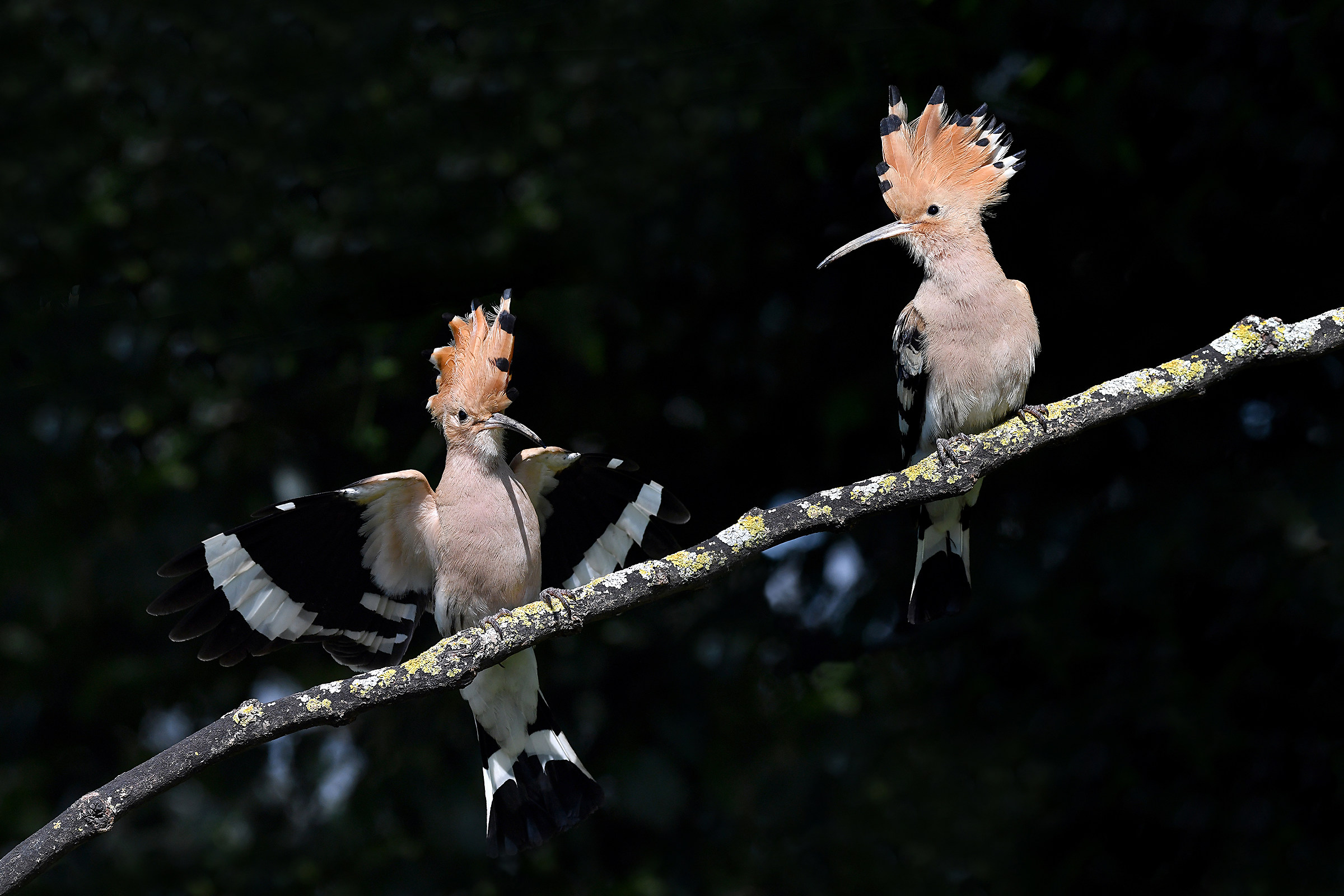 Stories of Feathers (Hoopoe)...
