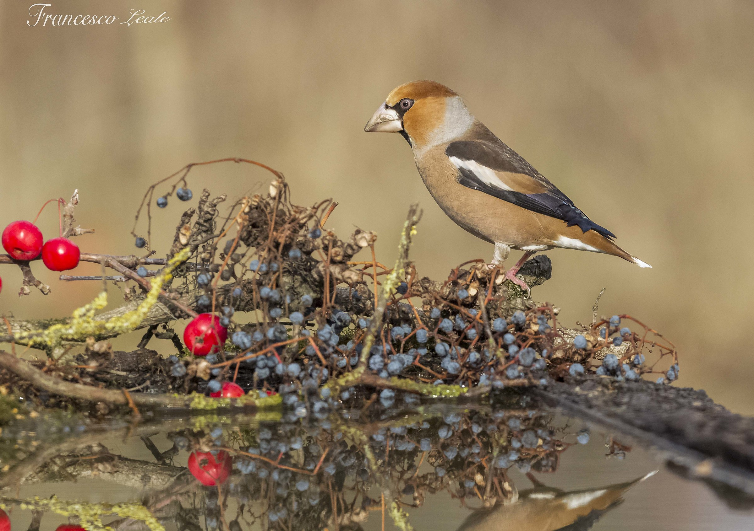 Curious Hawfinch...