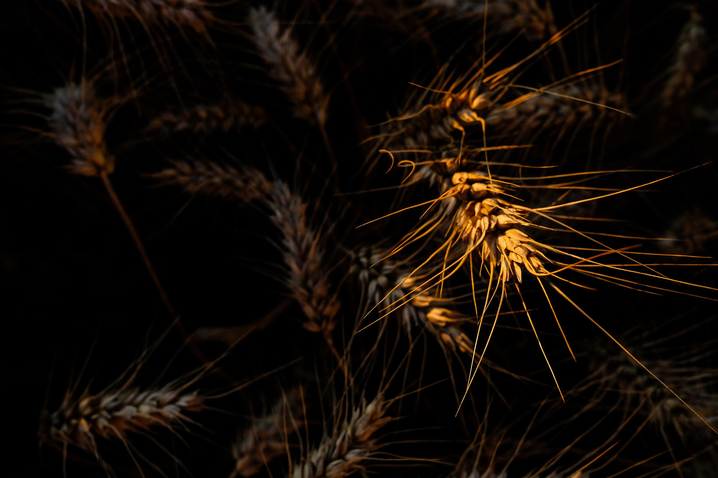Spiga di grano...