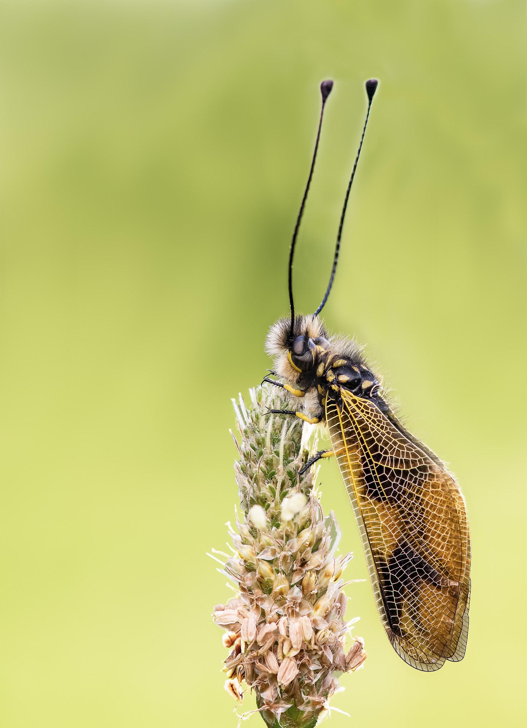 Libelloides Cocaius...
