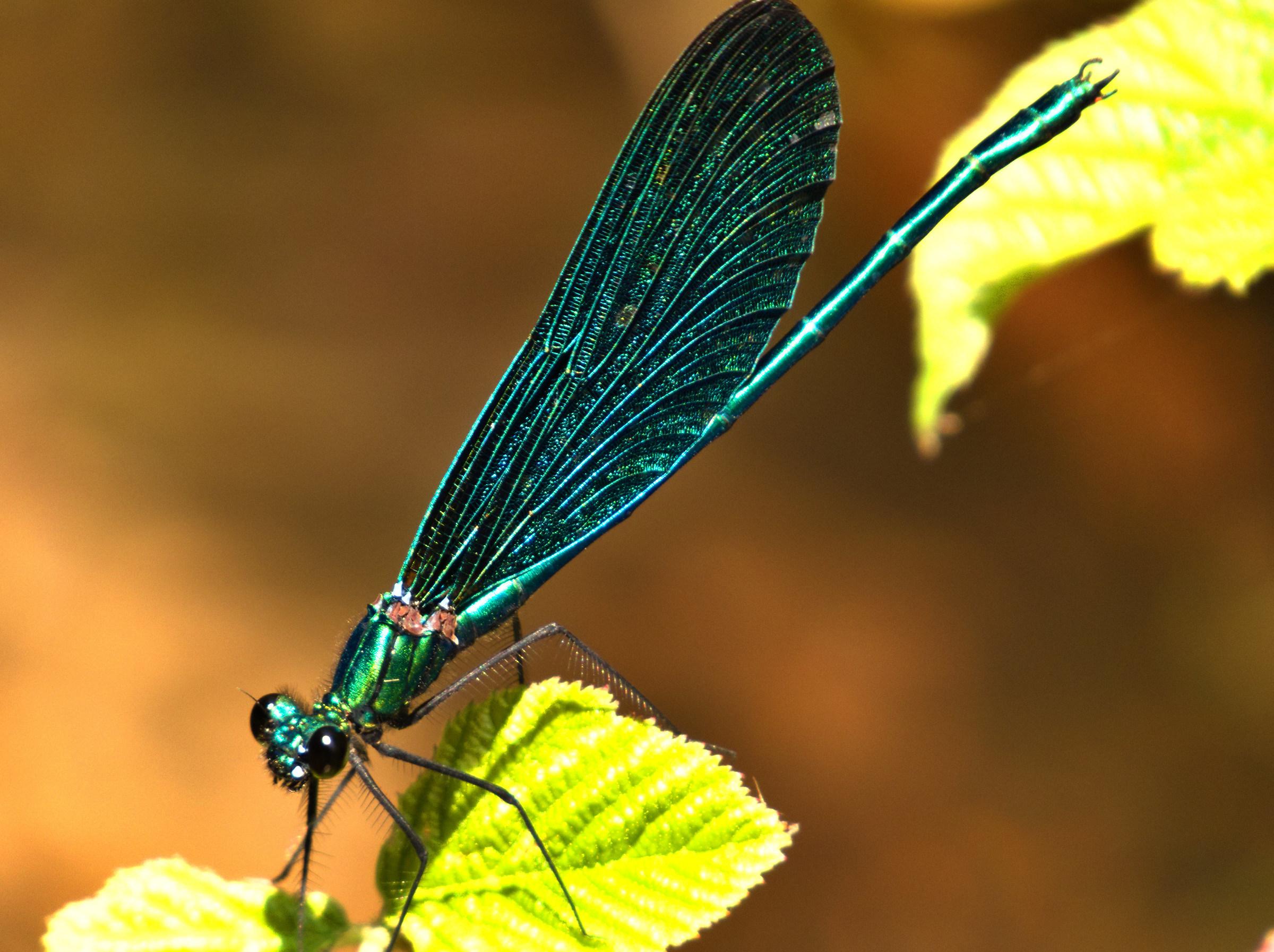 Calopteryx virgo Male...