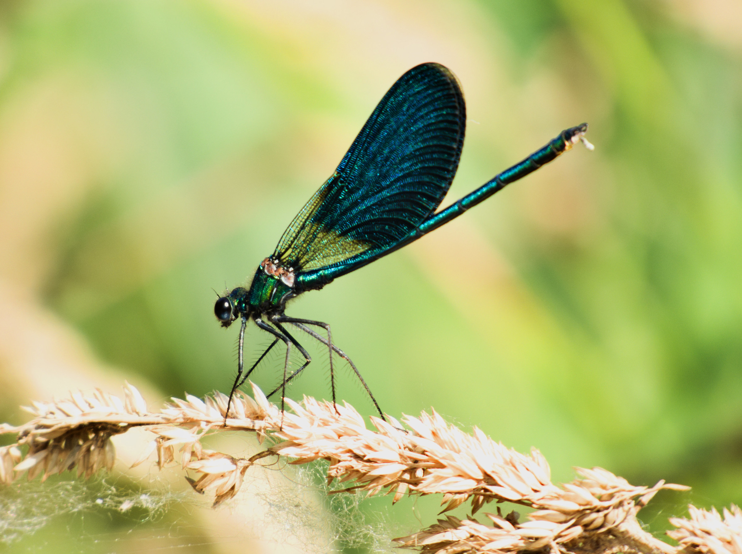Calopteryx splendens Male...