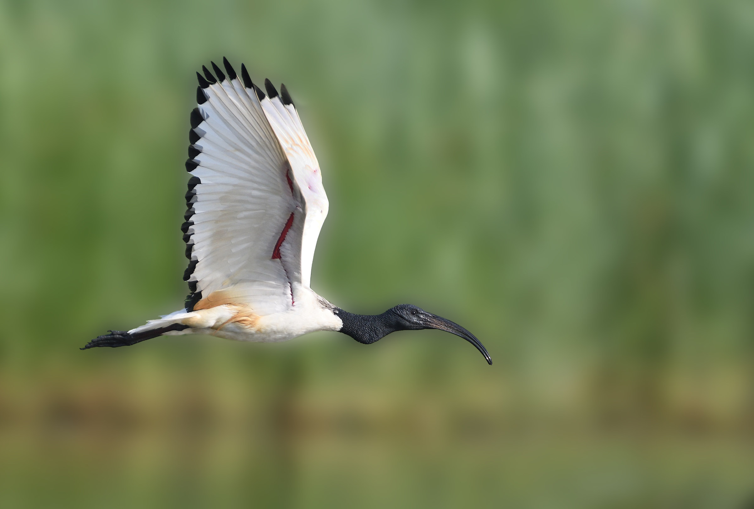 ibis sacro...